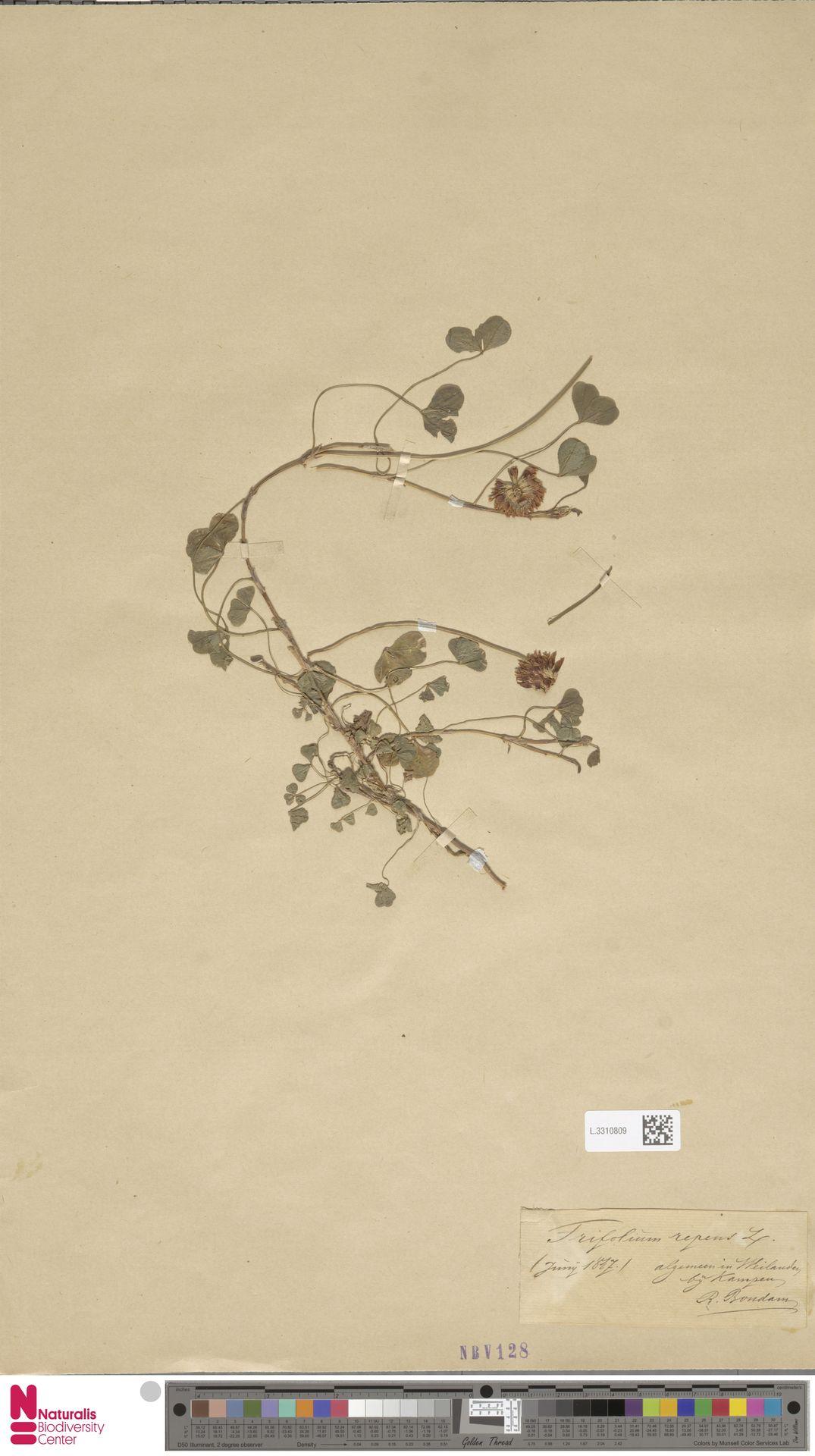 L.3310809 | Trifolium repens L.