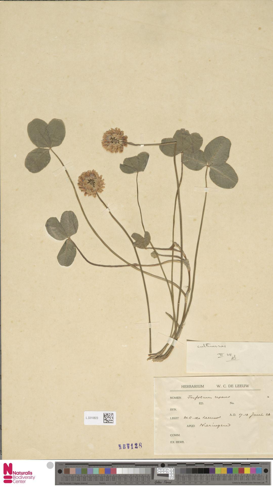 L.3310823   Trifolium repens L.
