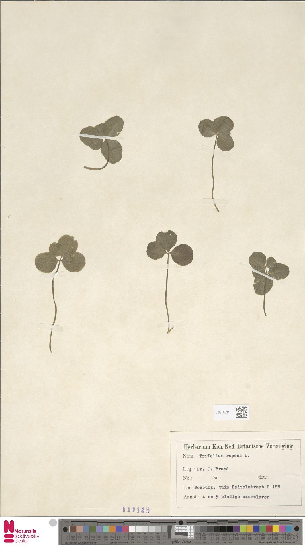 L.3310831 | Trifolium repens L.