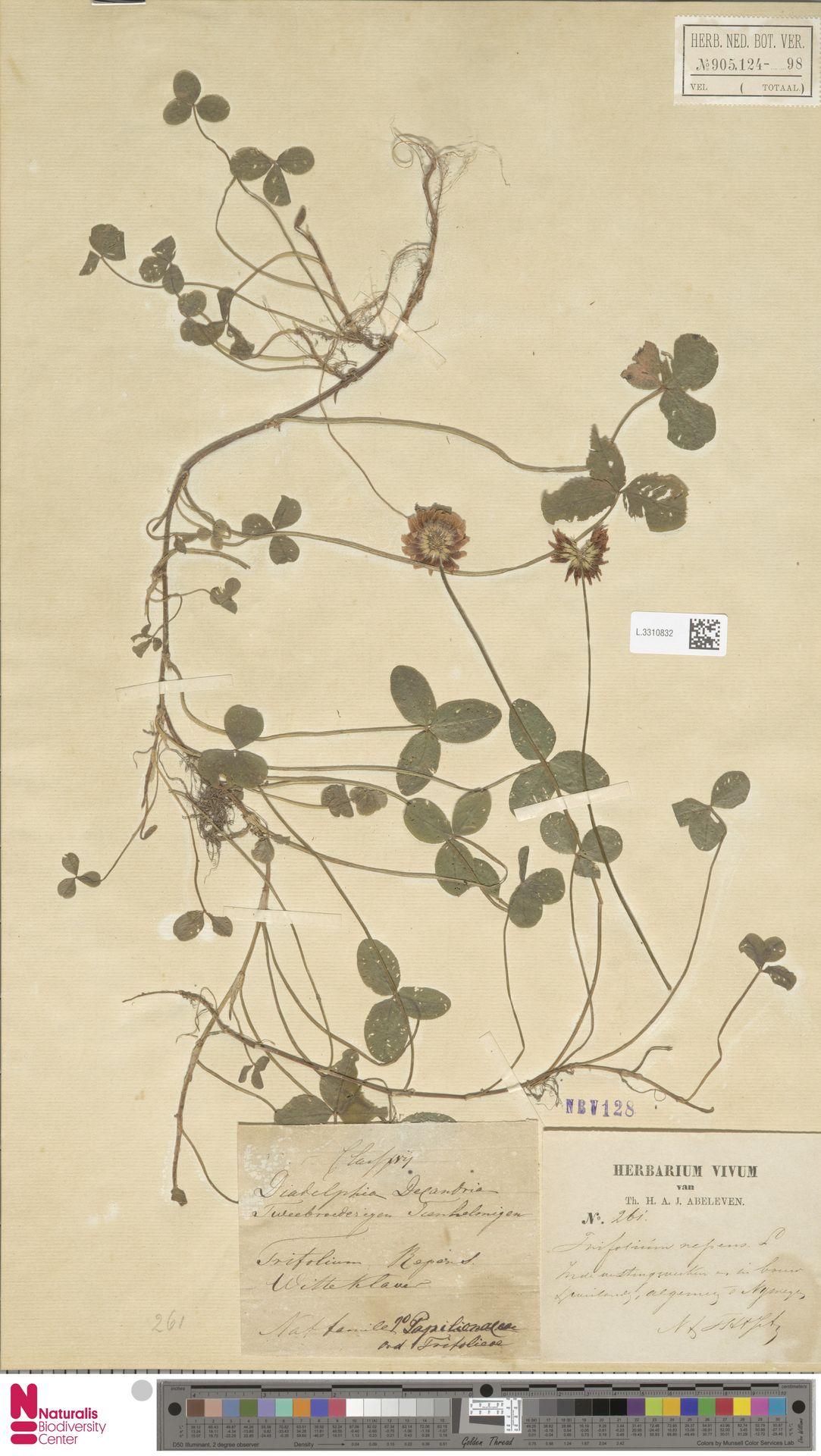 L.3310832 | Trifolium repens L.