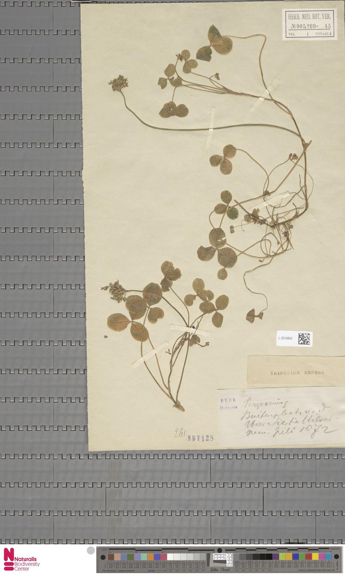 L.3310852 | Trifolium repens L.