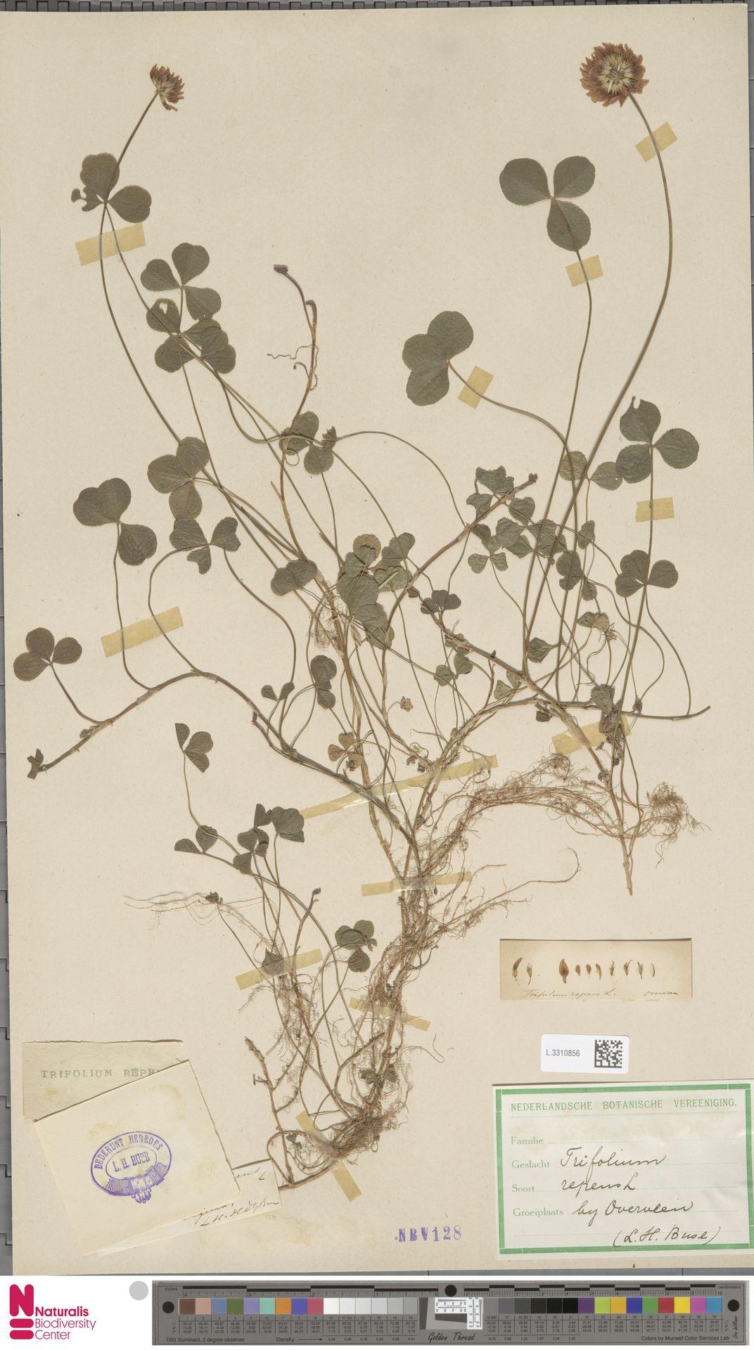 L.3310856 | Trifolium repens L.
