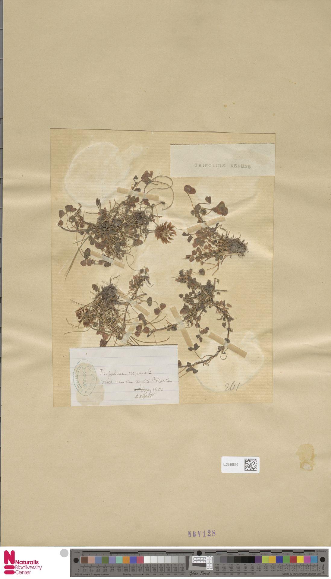 L.3310860   Trifolium repens L.