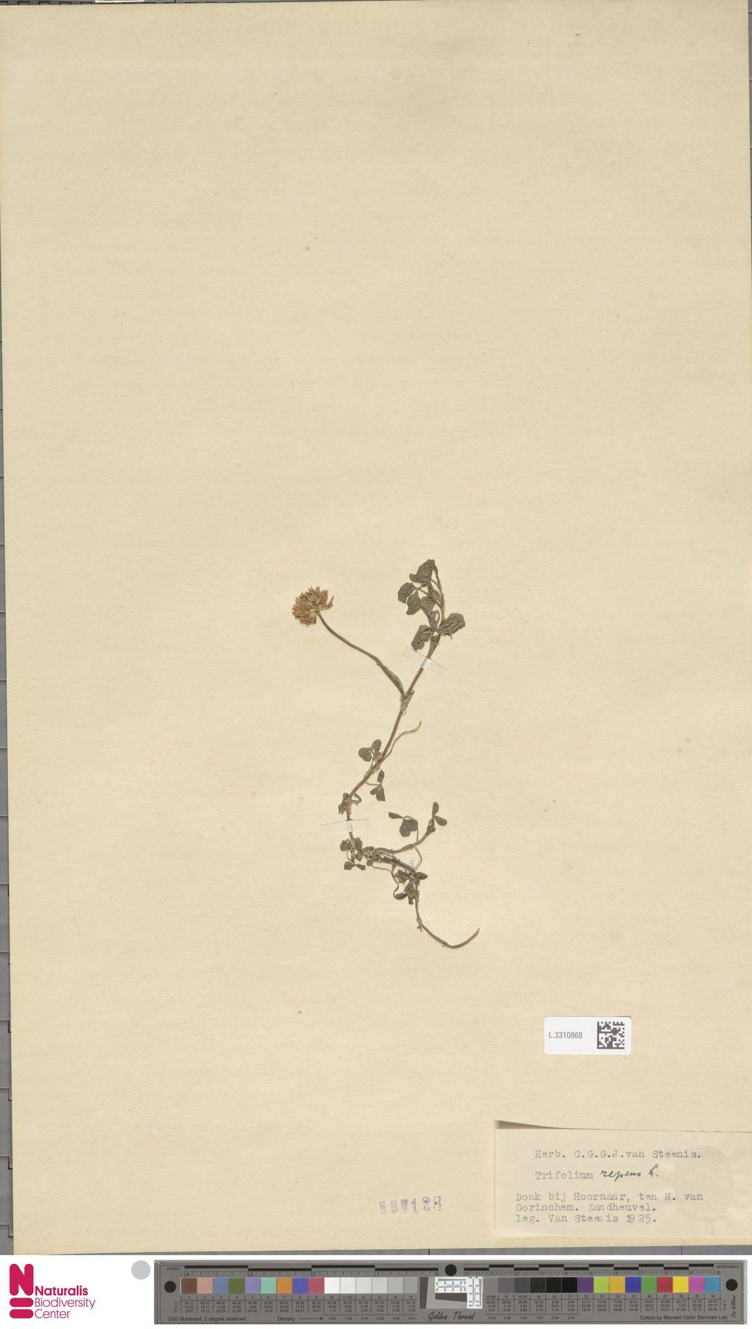 L.3310868 | Trifolium repens L.