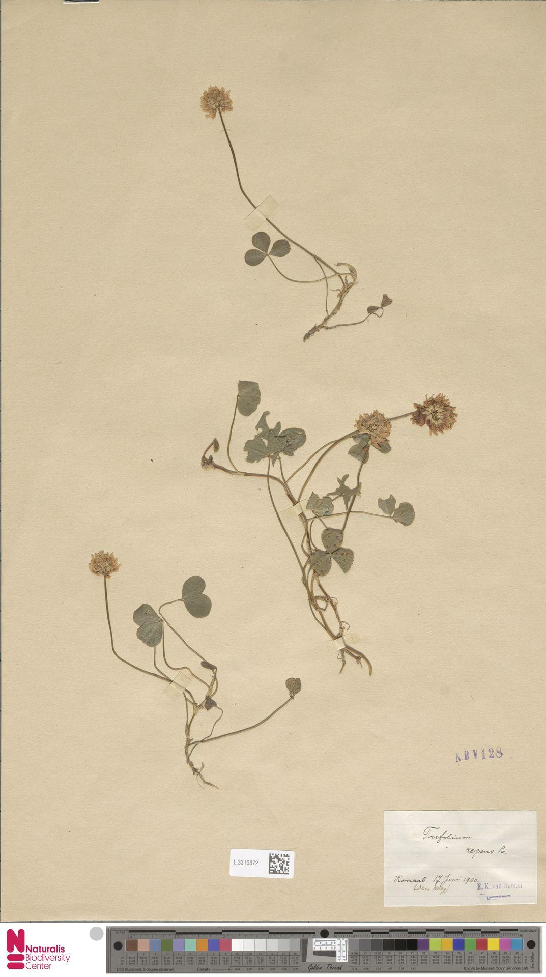 L.3310872 | Trifolium repens L.