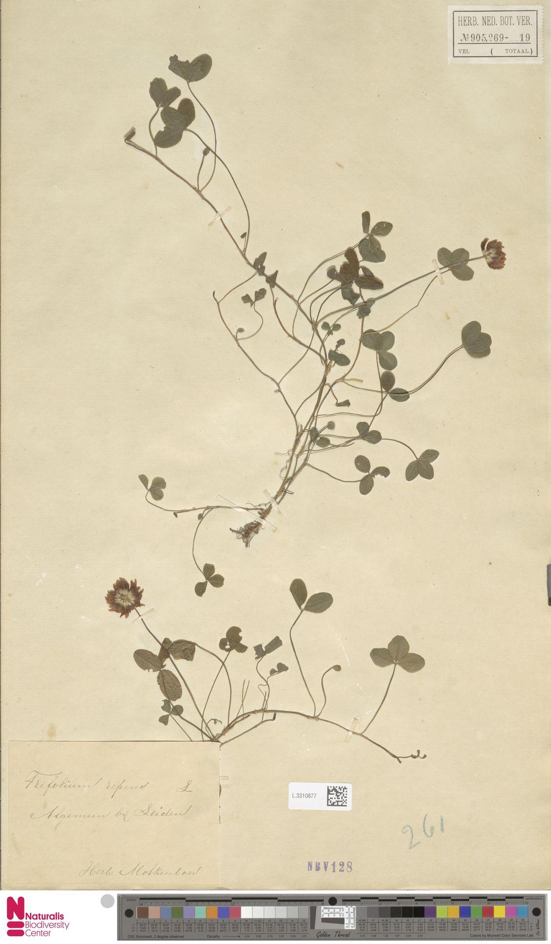 L.3310877 | Trifolium repens L.
