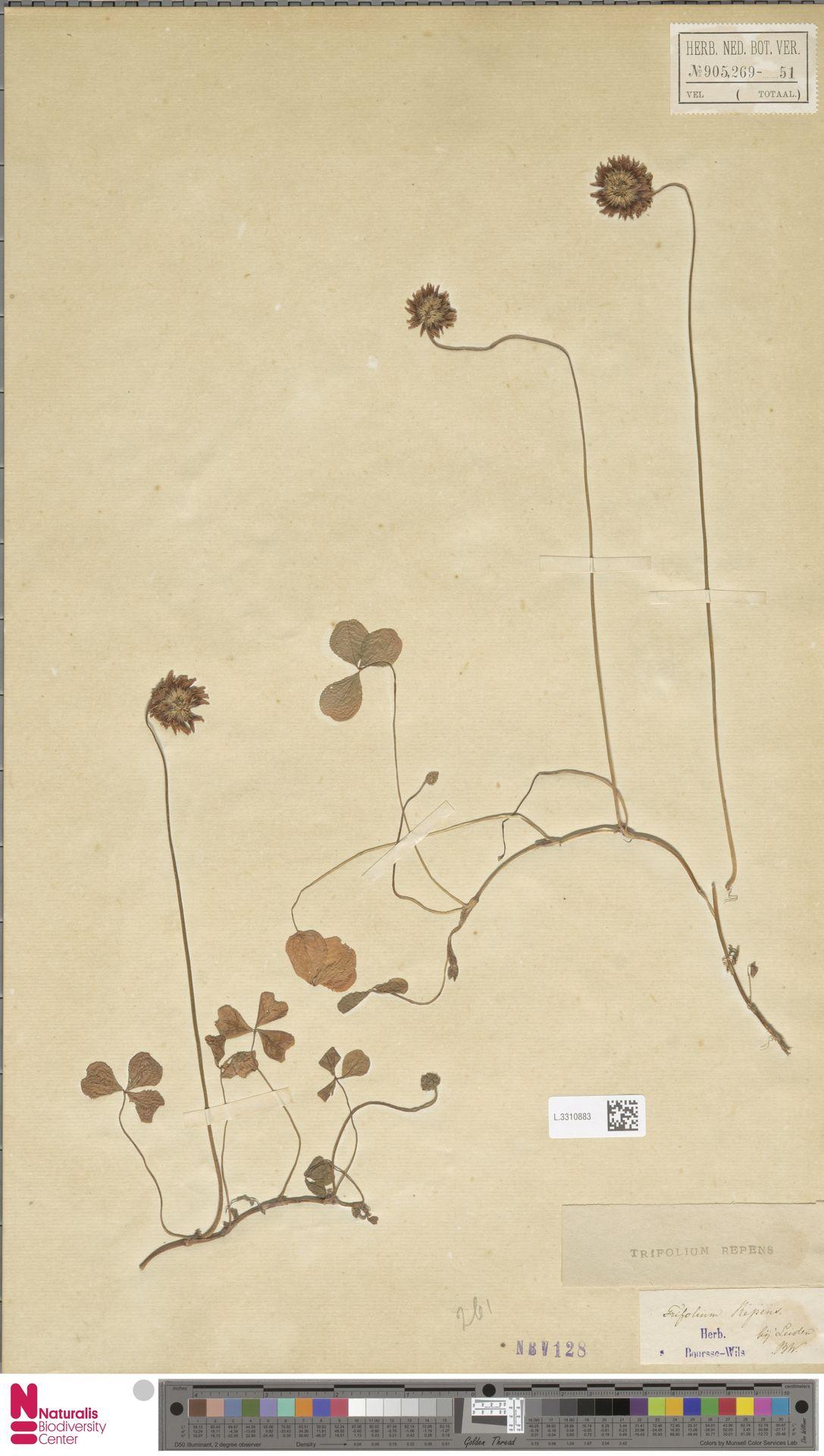 L.3310883 | Trifolium repens L.