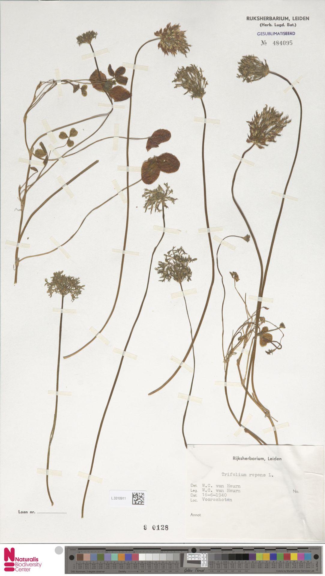 L.3310911   Trifolium repens L.