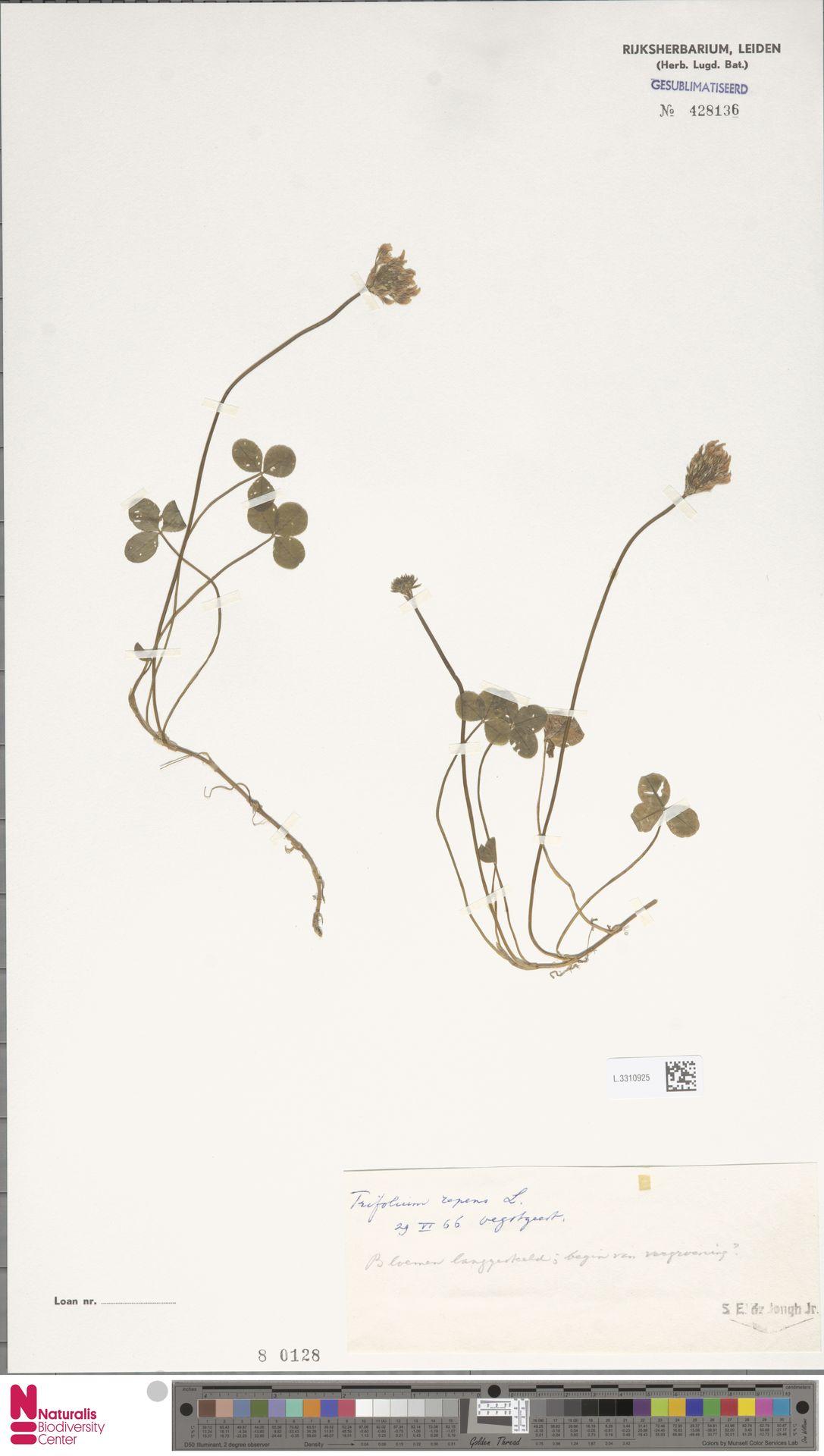 L.3310925 | Trifolium repens L.