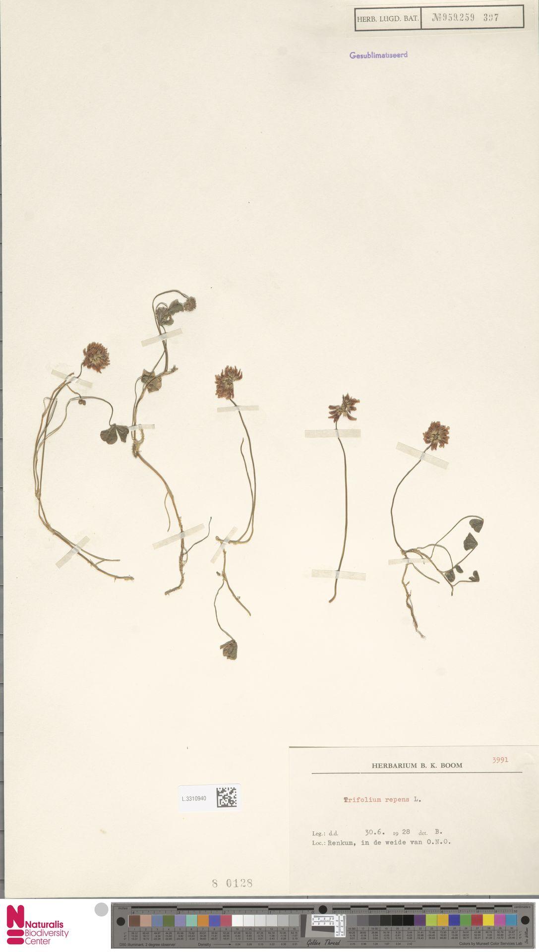 L.3310940   Trifolium repens L.