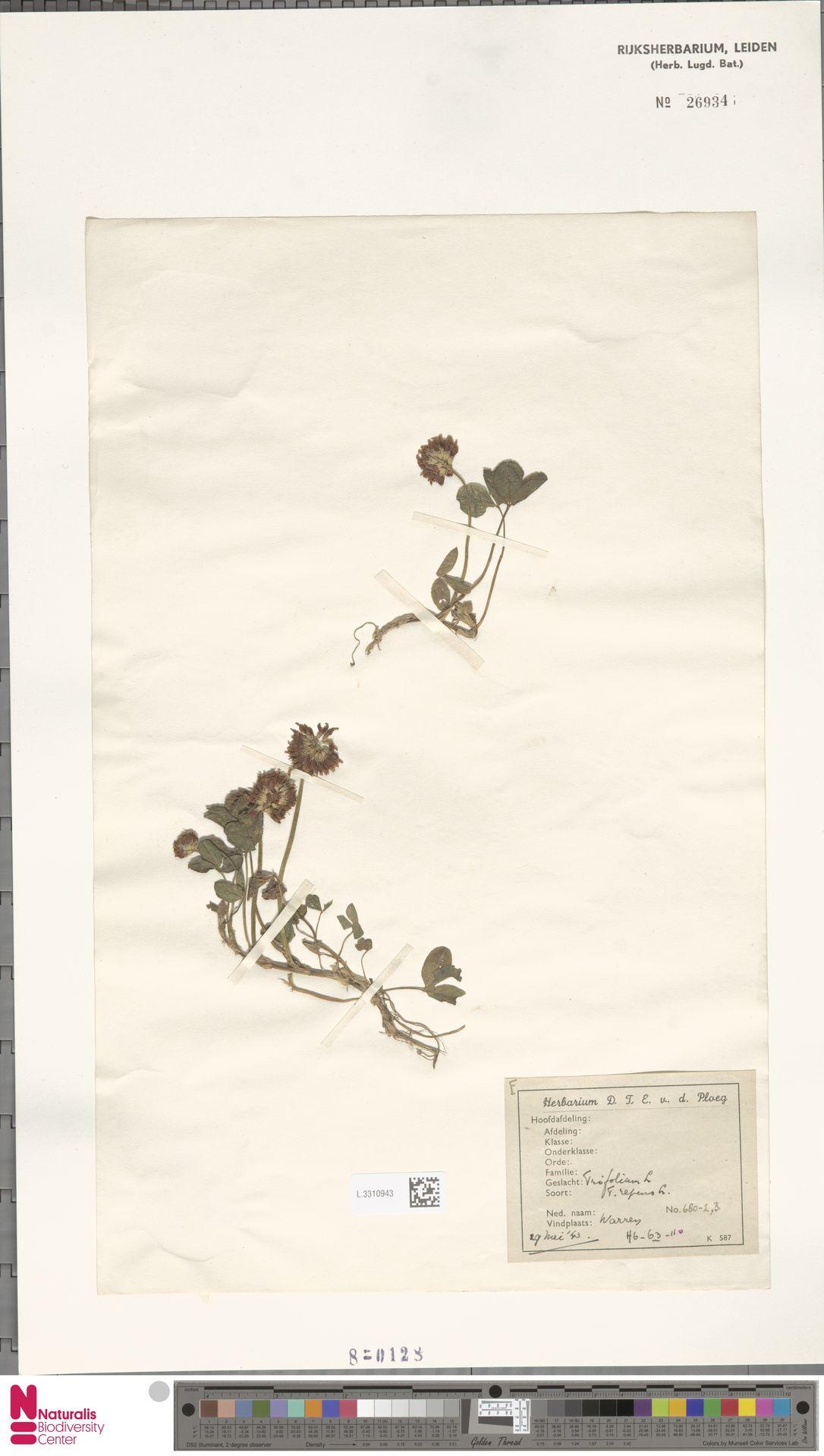L.3310943   Trifolium repens L.