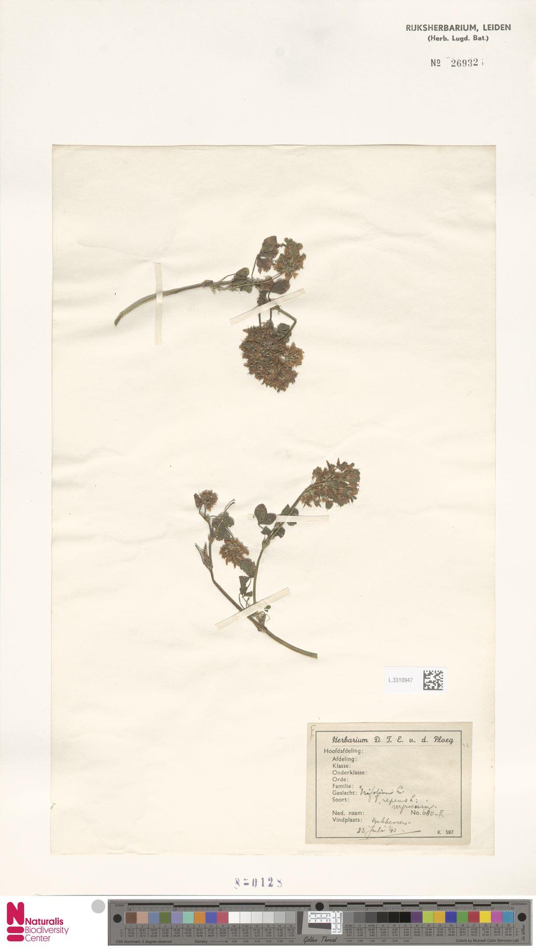 L.3310947 | Trifolium repens L.