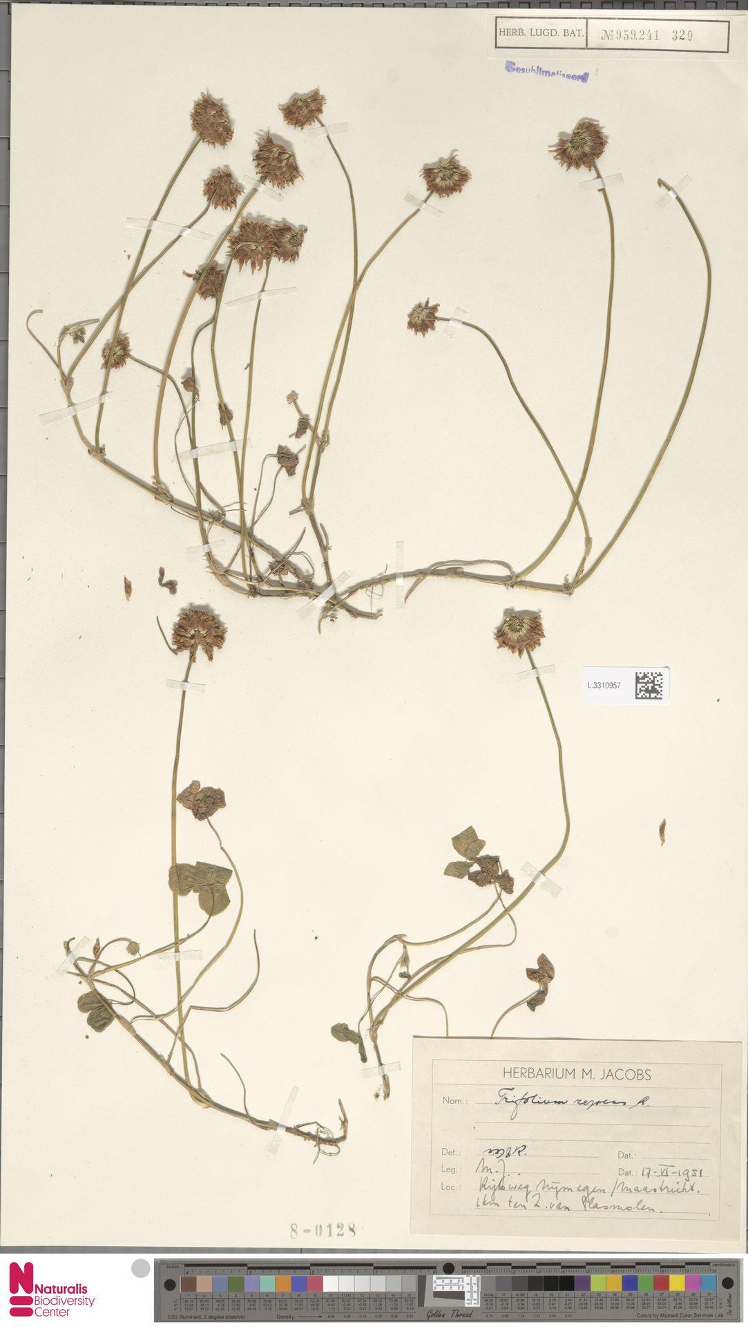 L.3310957 | Trifolium repens L.