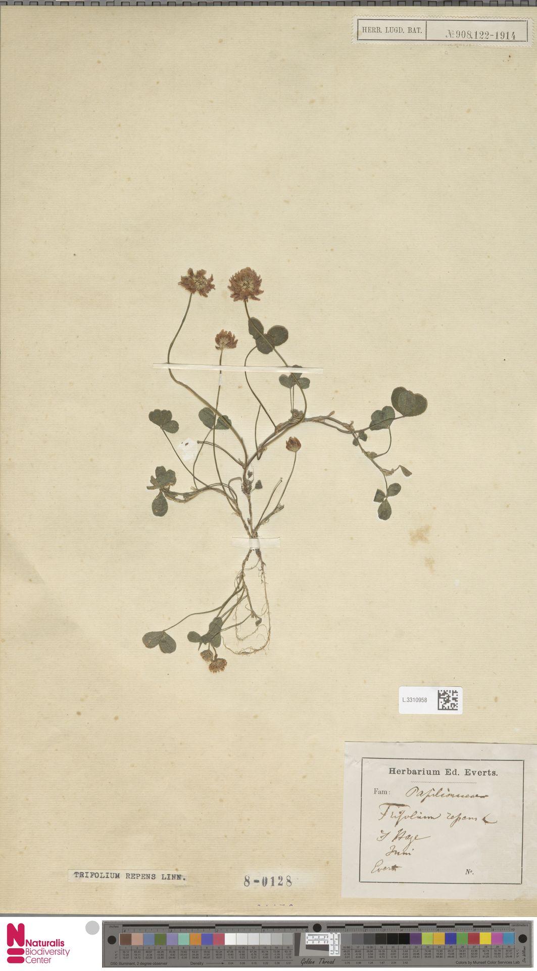 L.3310958 | Trifolium repens L.
