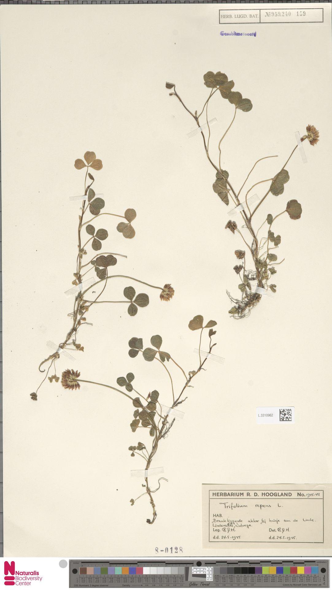 L.3310962 | Trifolium repens L.