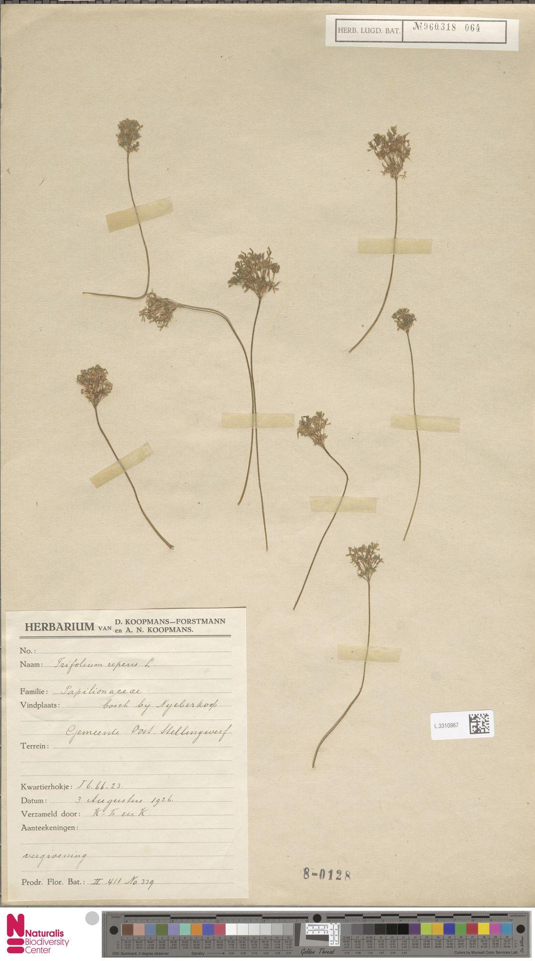 L.3310967 | Trifolium repens L.