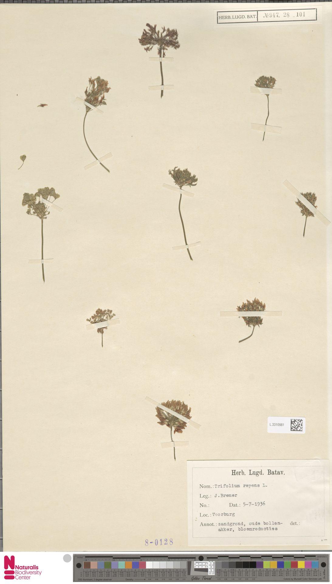 L.3310981 | Trifolium repens L.