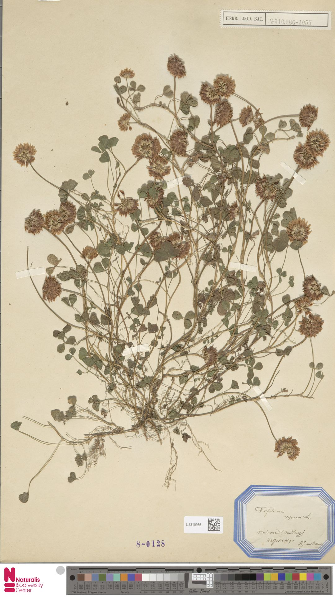 L.3310986 | Trifolium repens L.