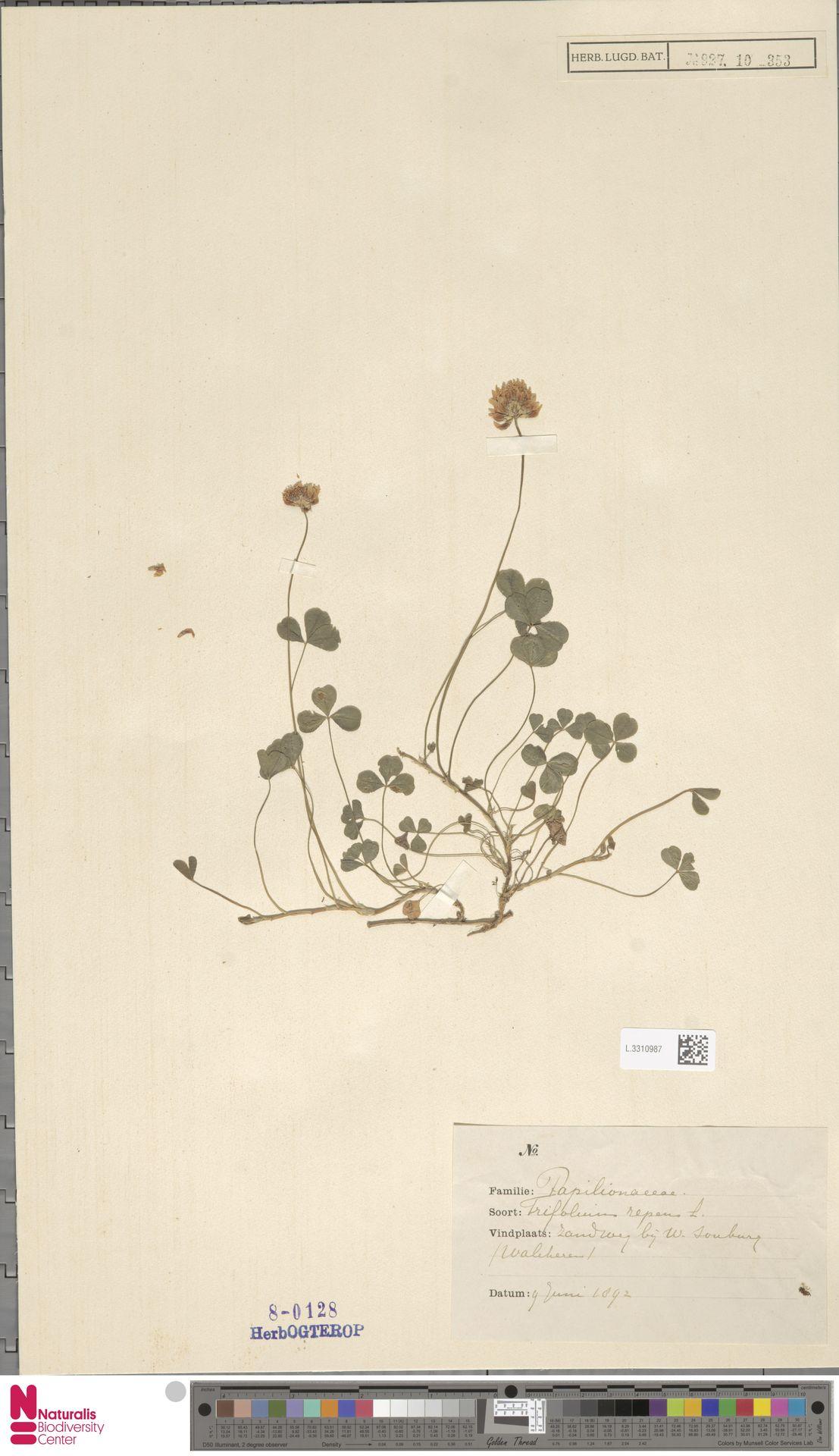L.3310987 | Trifolium repens L.