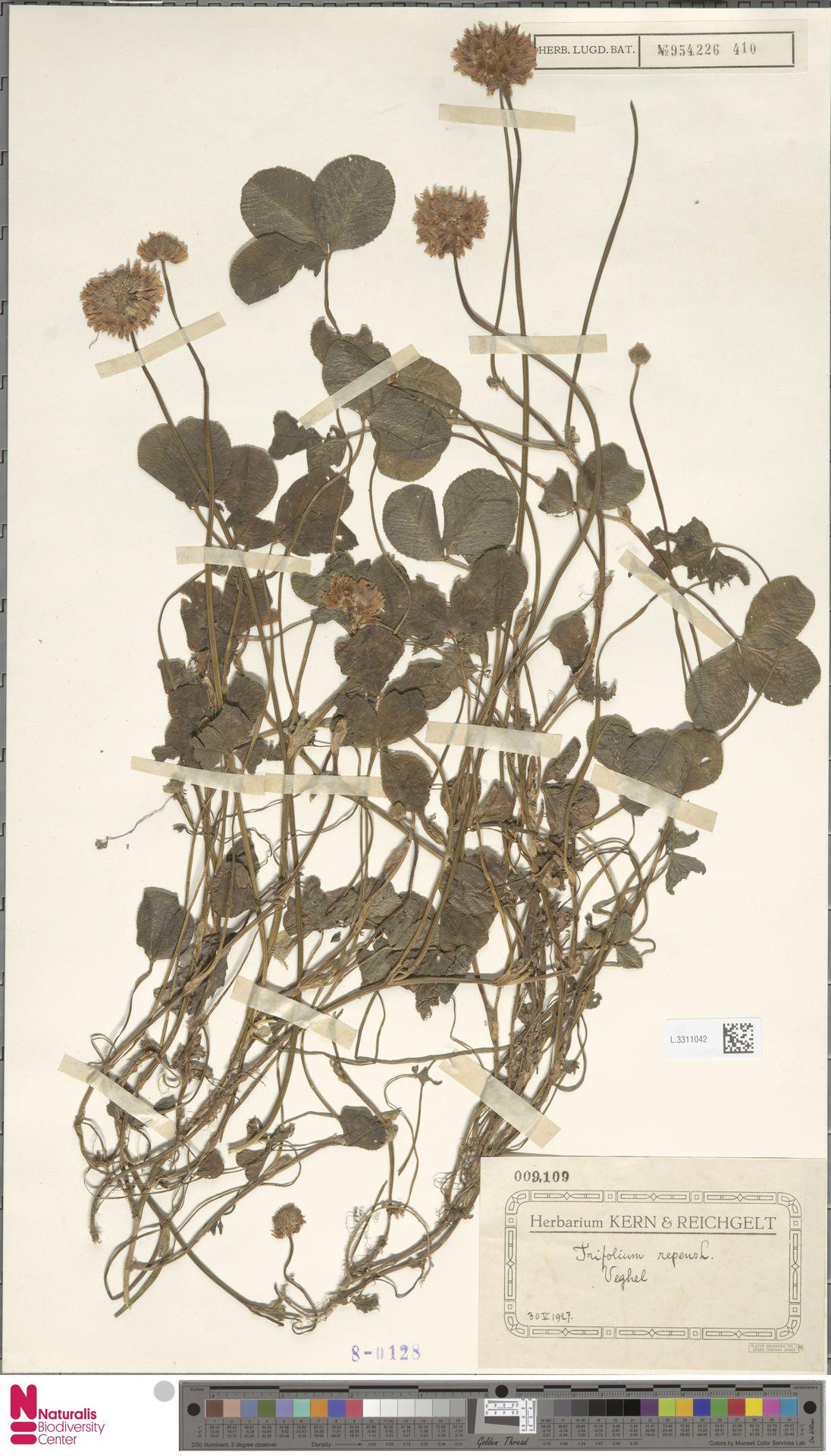 L.3311042 | Trifolium repens L.