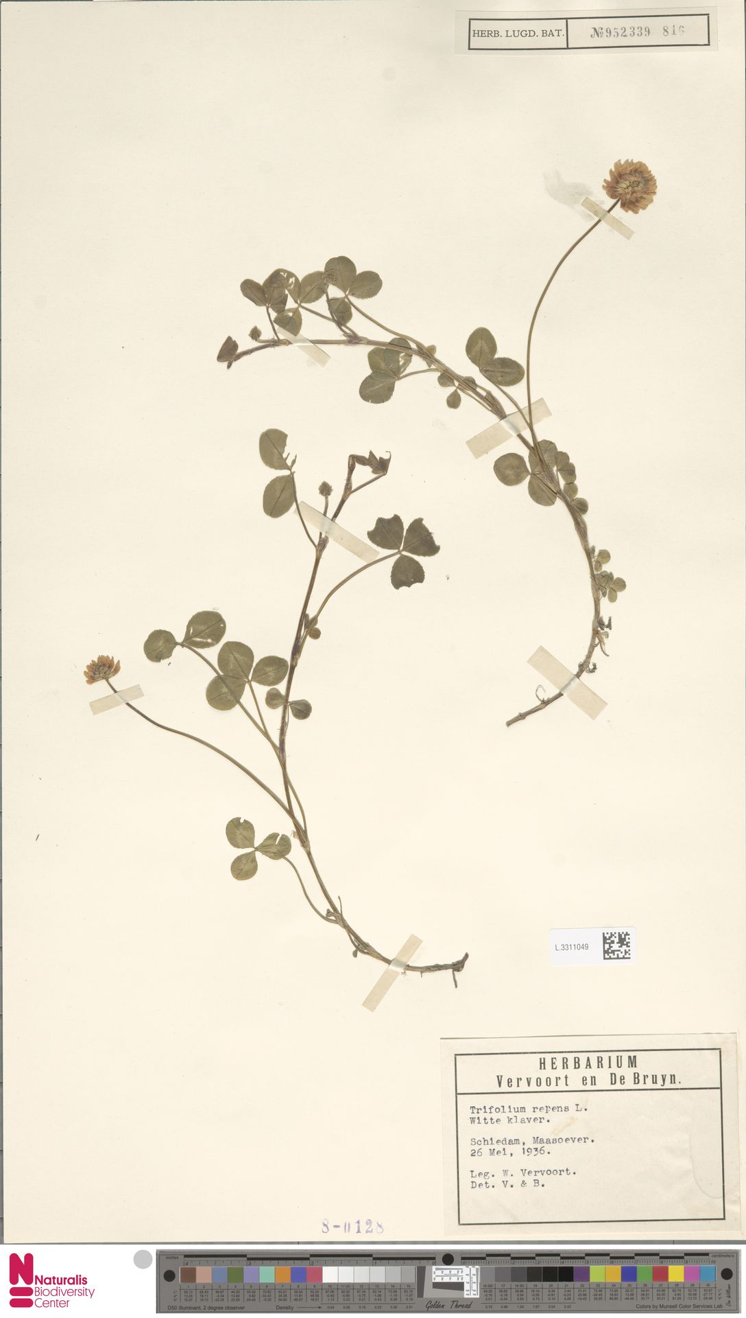 L.3311049 | Trifolium repens L.