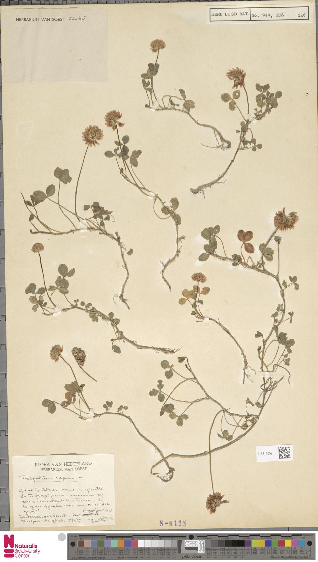 L.3311052 | Trifolium repens L.