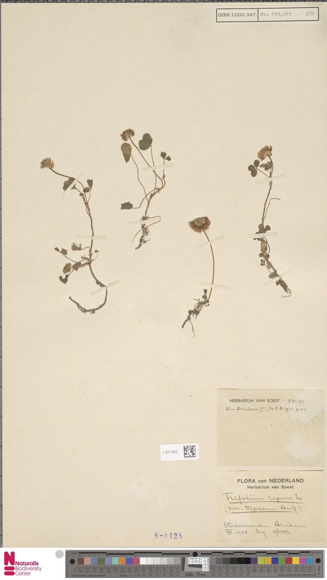 L.3311055 | Trifolium repens L.