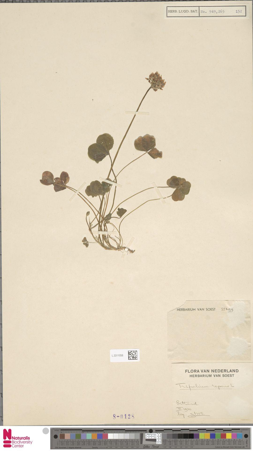 L.3311056 | Trifolium repens L.