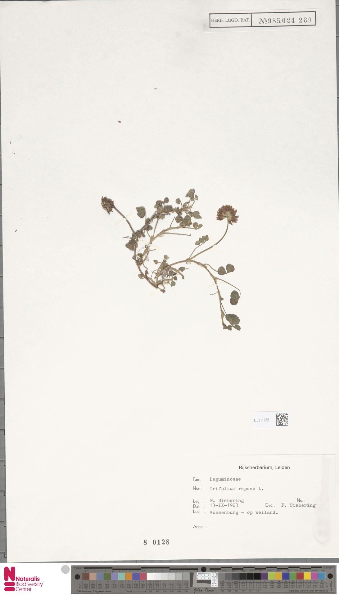 L.3311085 | Trifolium repens L.