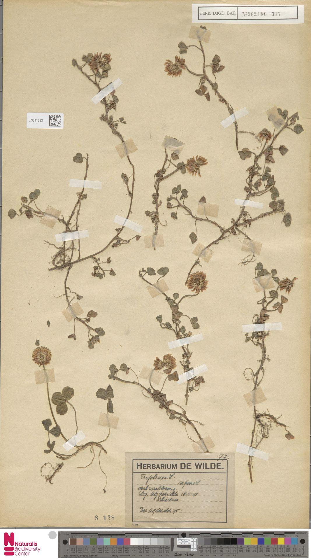 L.3311093 | Trifolium repens L.
