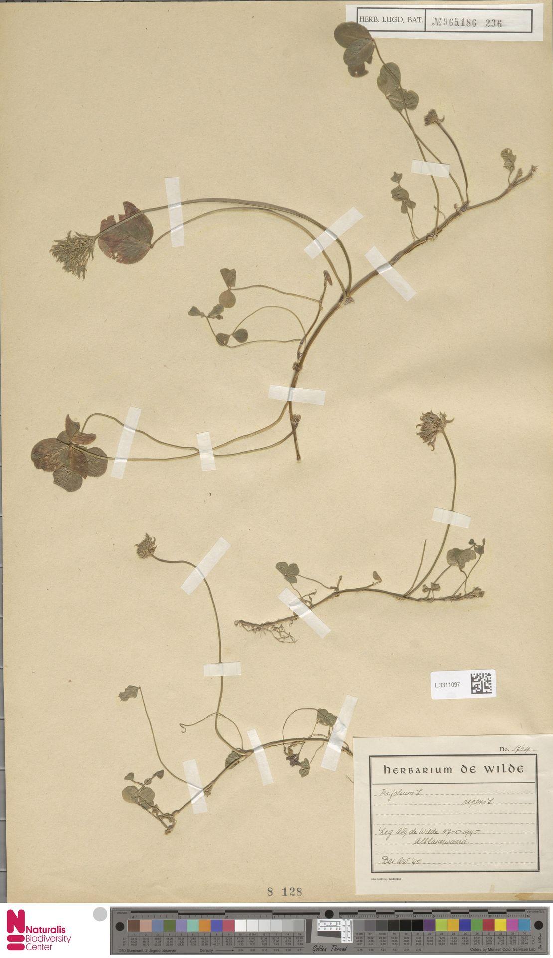 L.3311097 | Trifolium repens L.