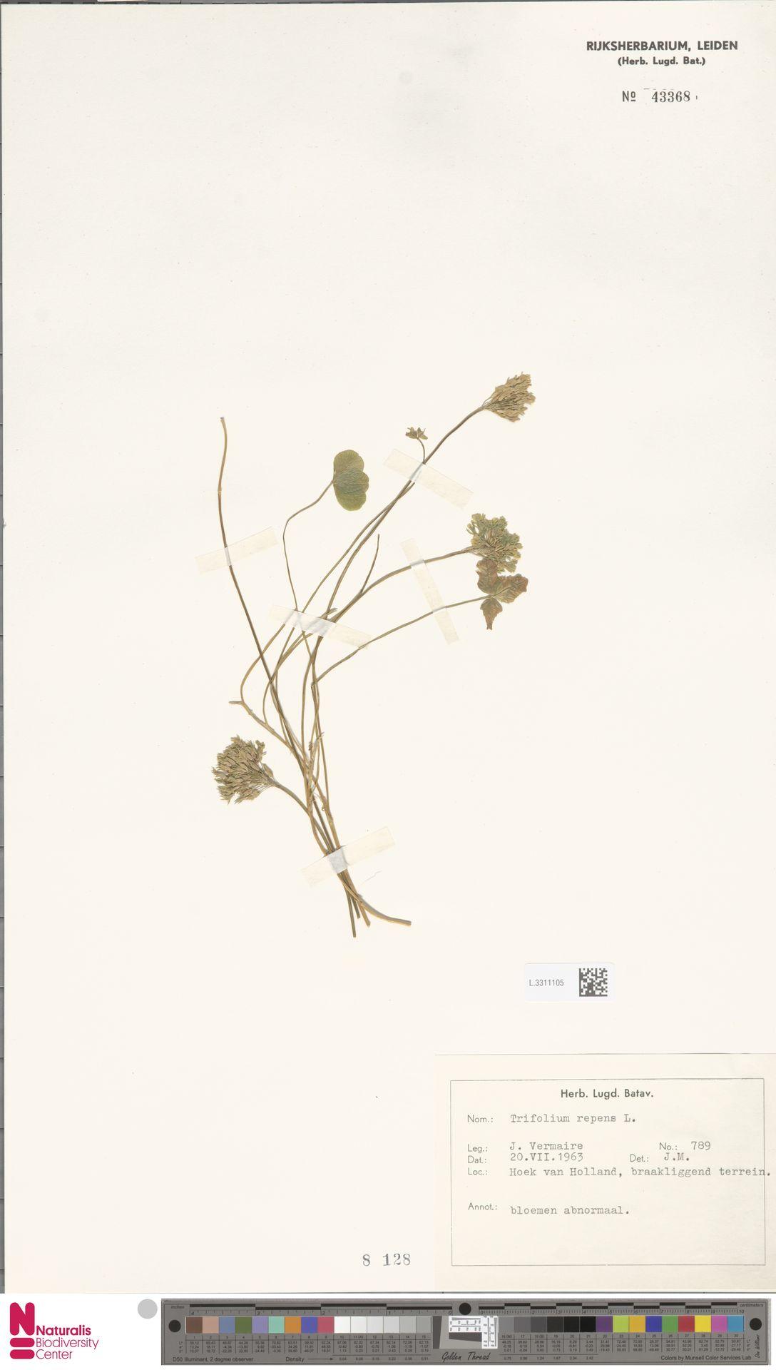 L.3311105 | Trifolium repens L.