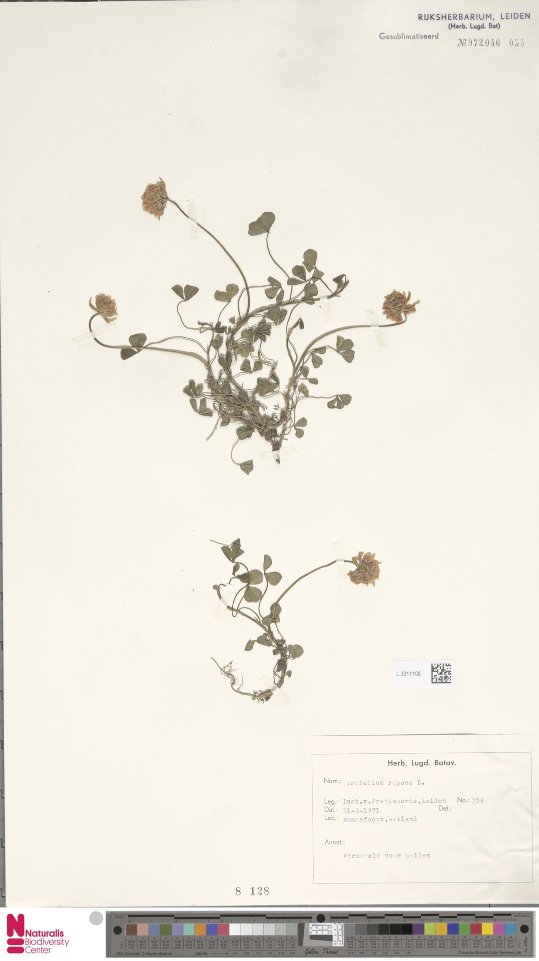 L.3311108 | Trifolium repens L.