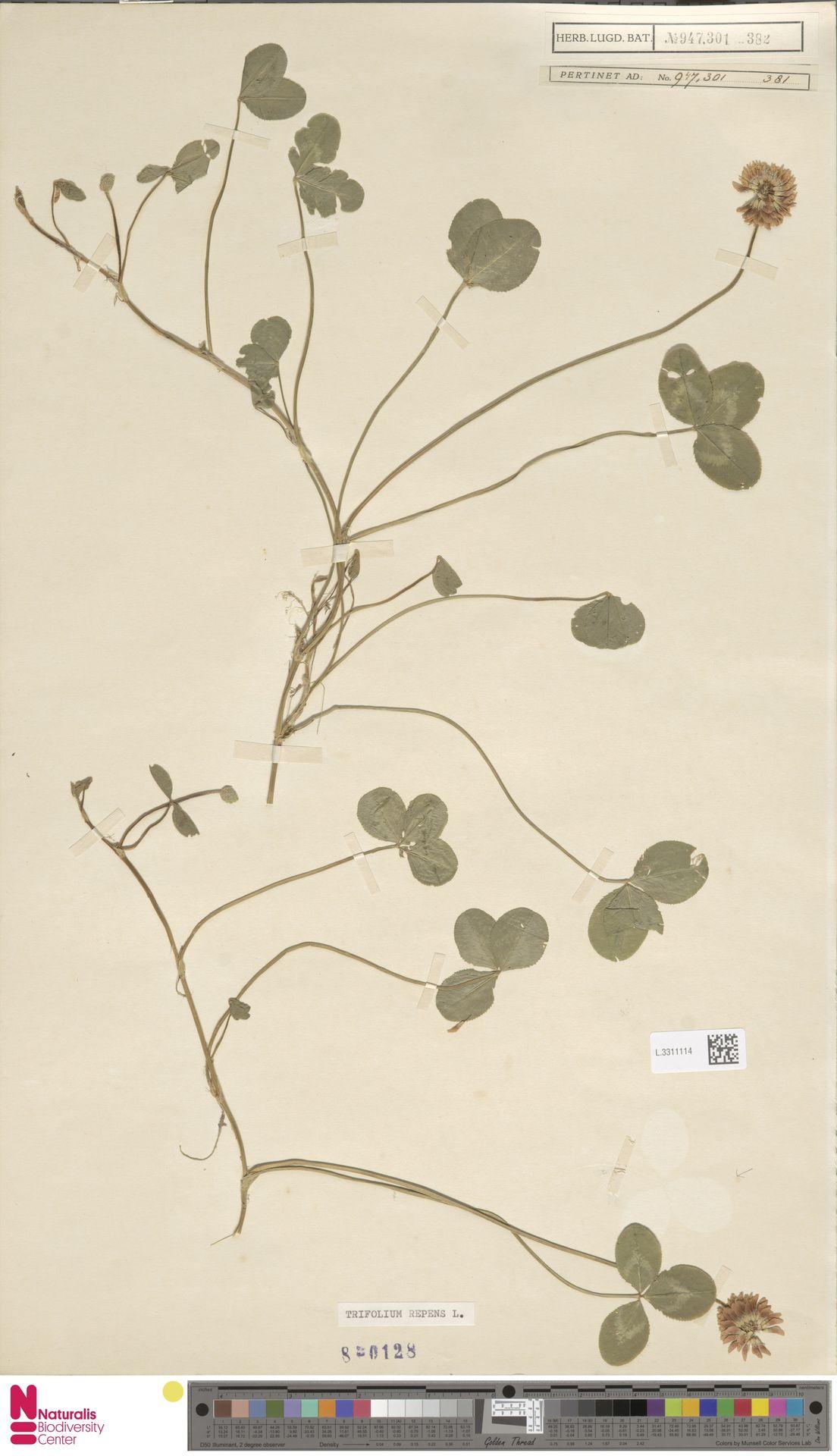 L.3311114   Trifolium repens L.