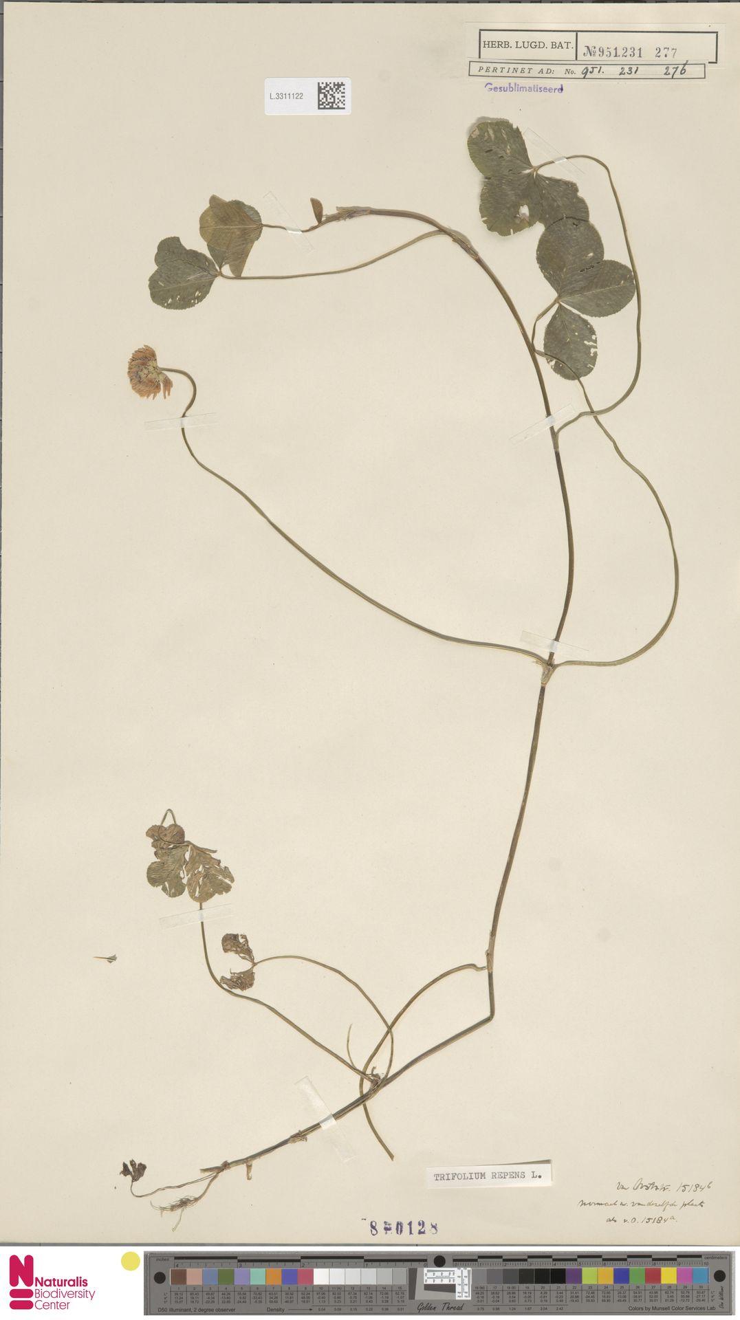 L.3311122 | Trifolium repens L.