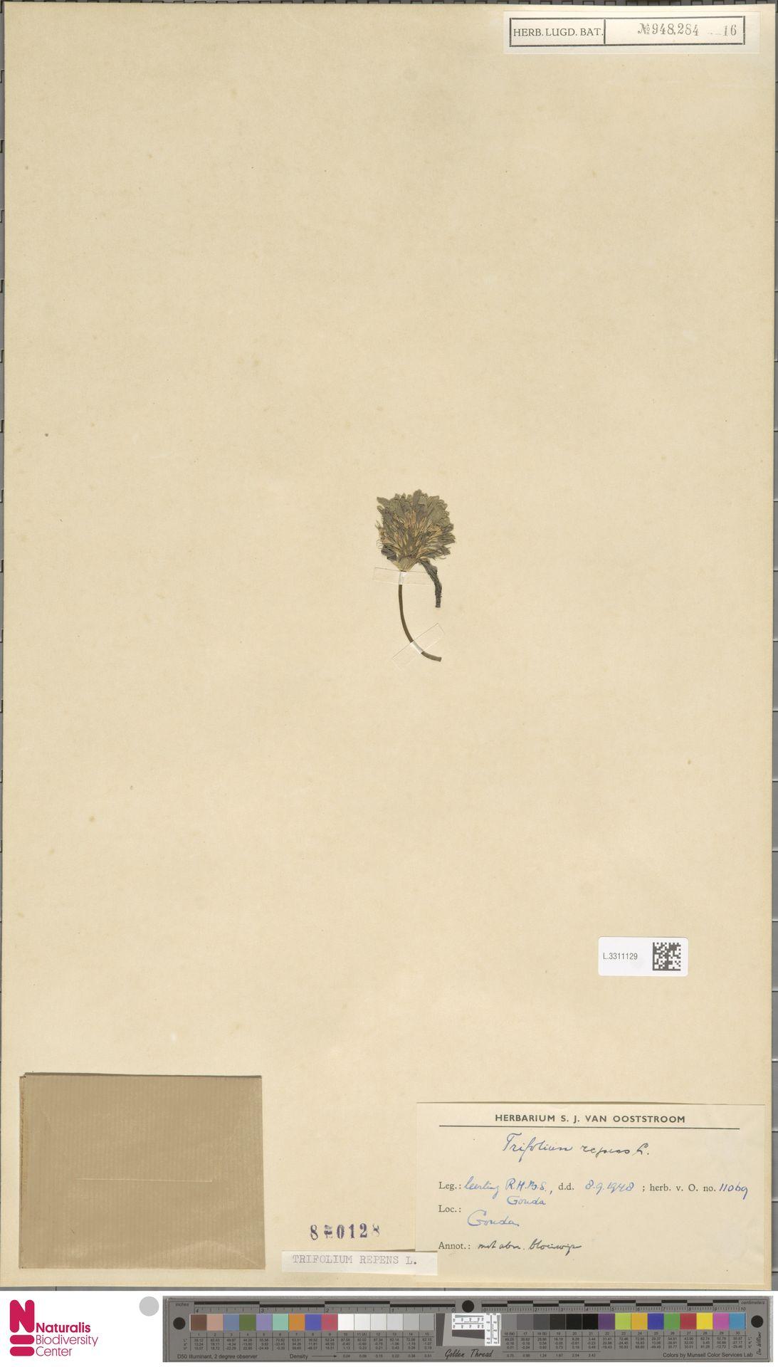 L.3311129 | Trifolium repens L.