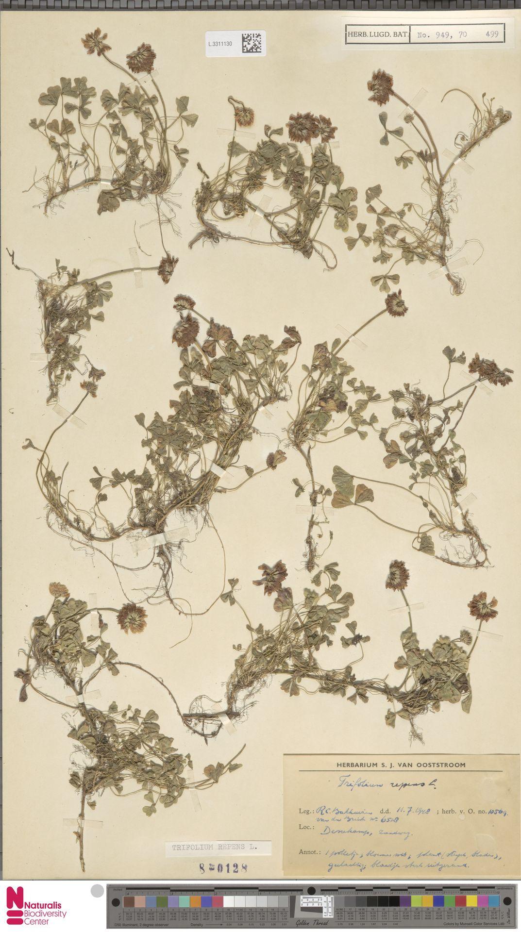 L.3311130 | Trifolium repens L.