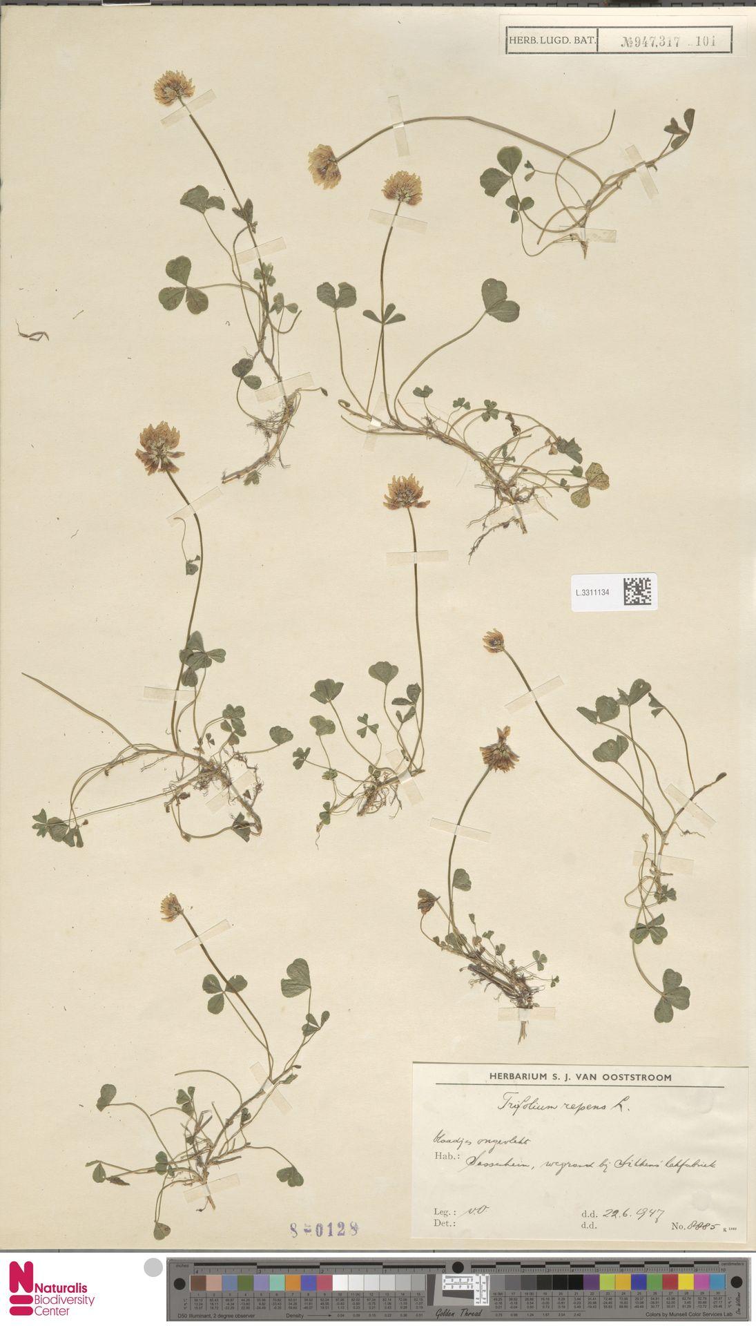 L.3311134   Trifolium repens L.