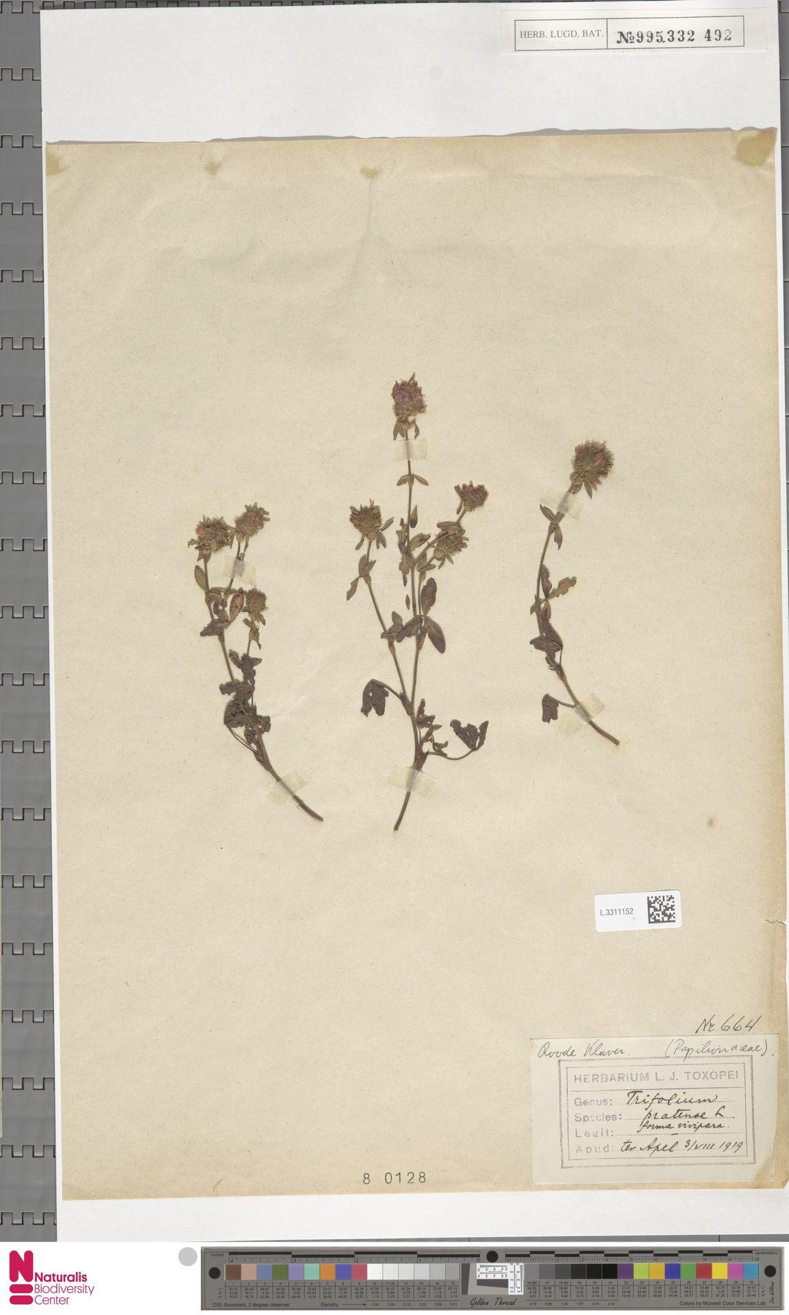L.3311152 | Trifolium pratense L.