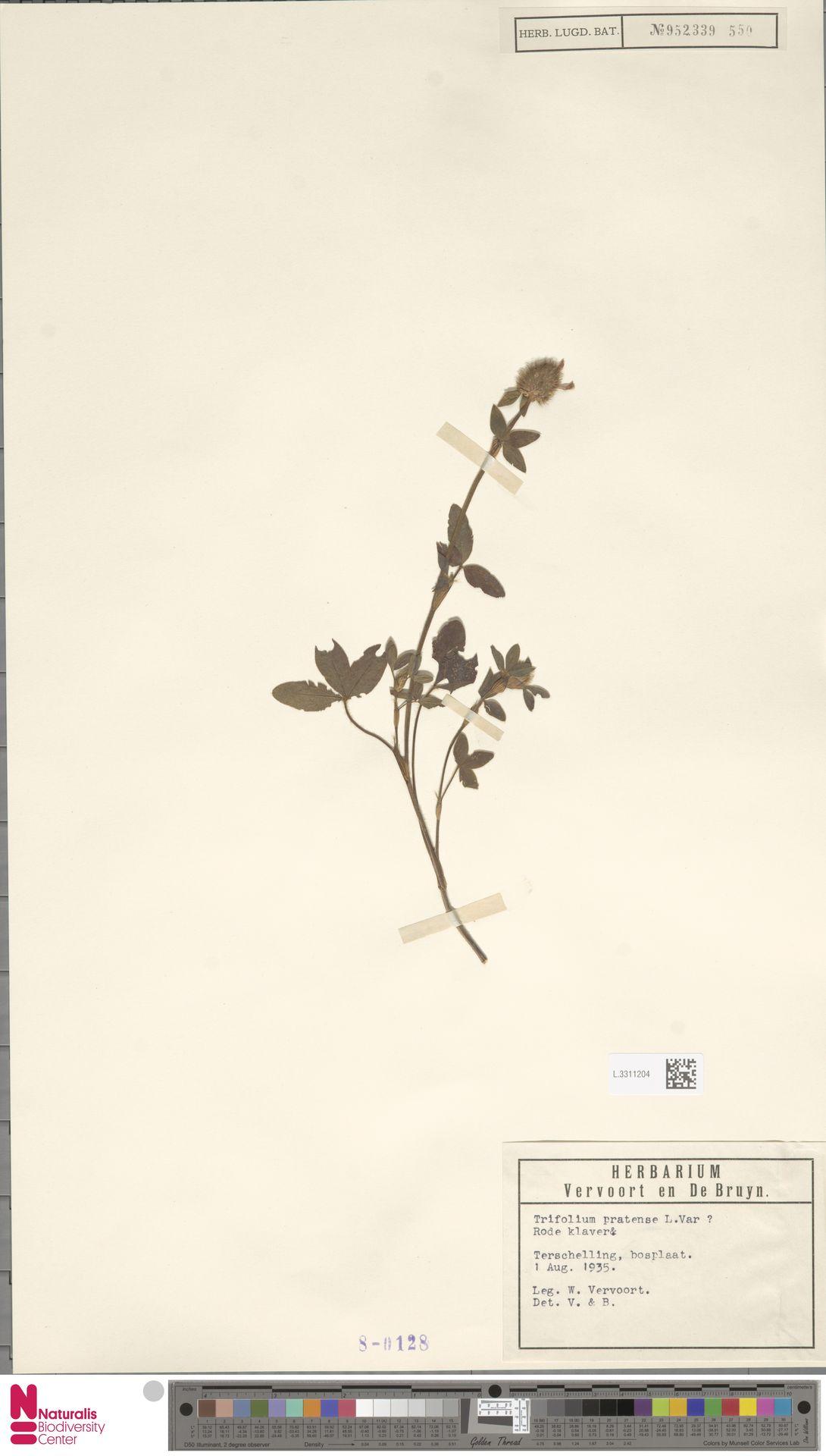 L.3311204 | Trifolium pratense L.