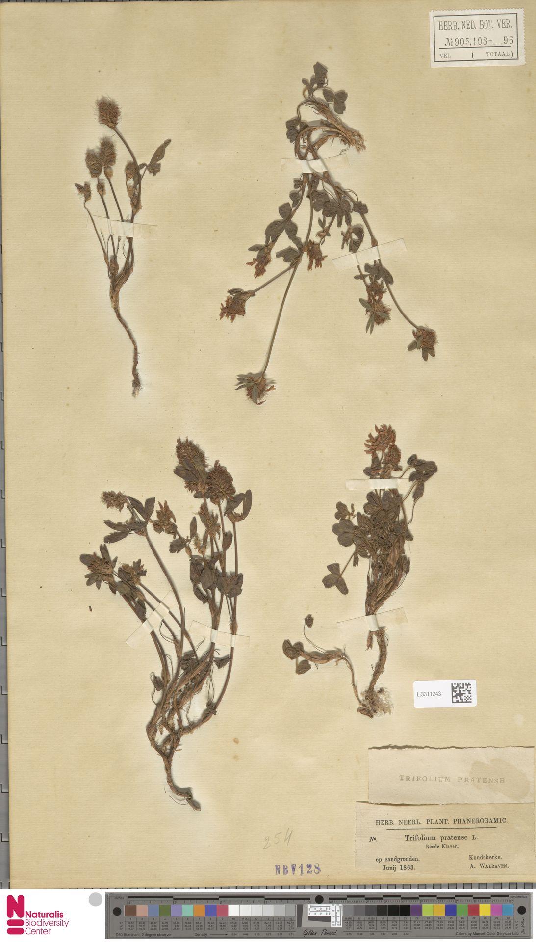 L.3311243   Trifolium pratense L.