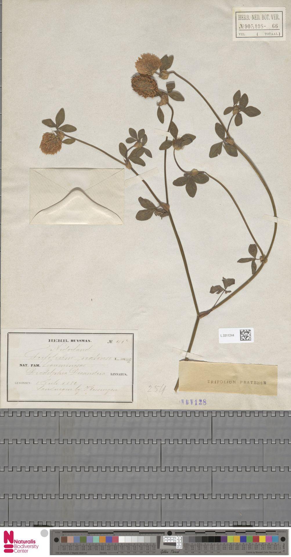 L.3311244   Trifolium pratense L.
