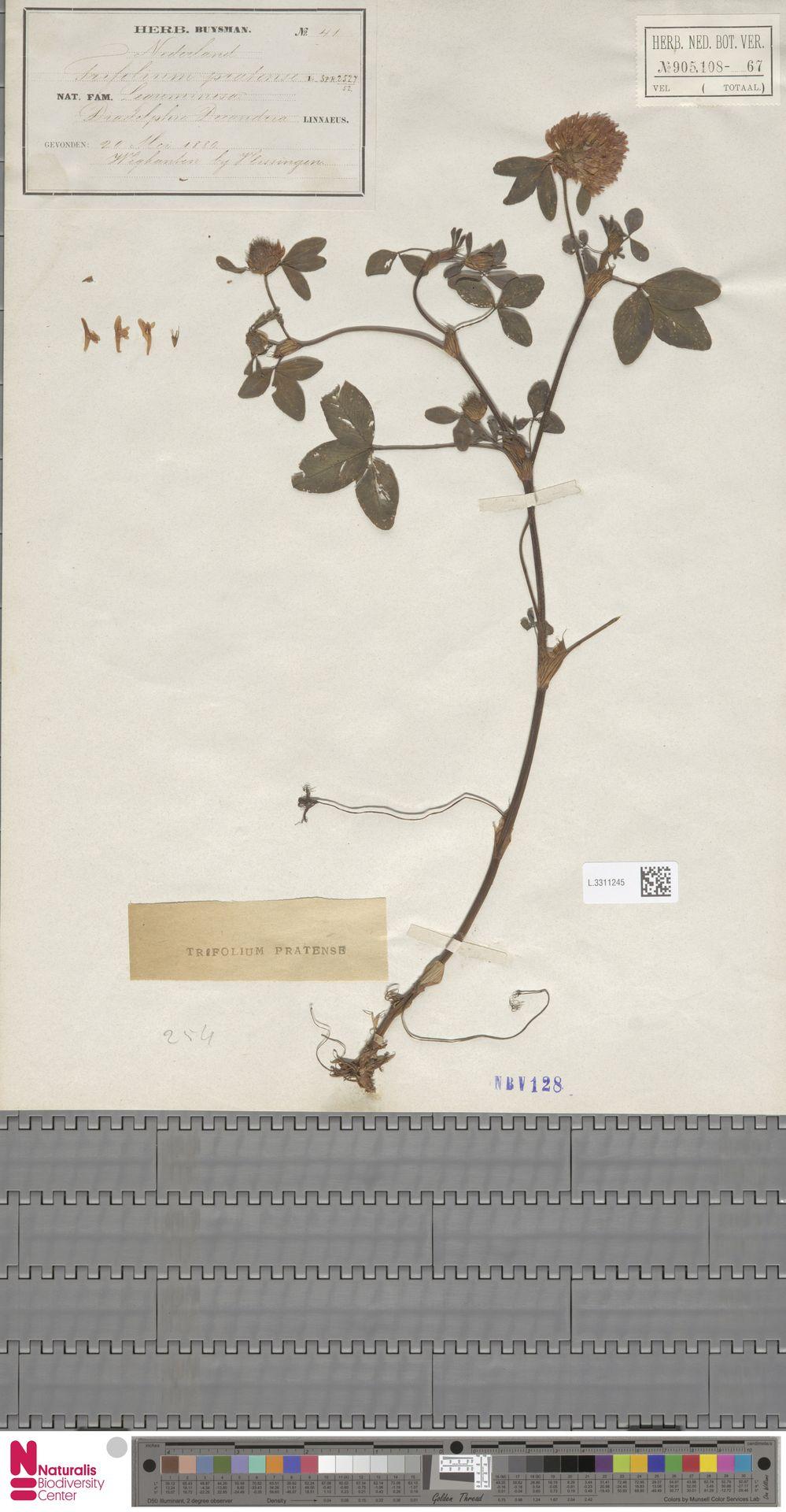 L.3311245 | Trifolium pratense L.