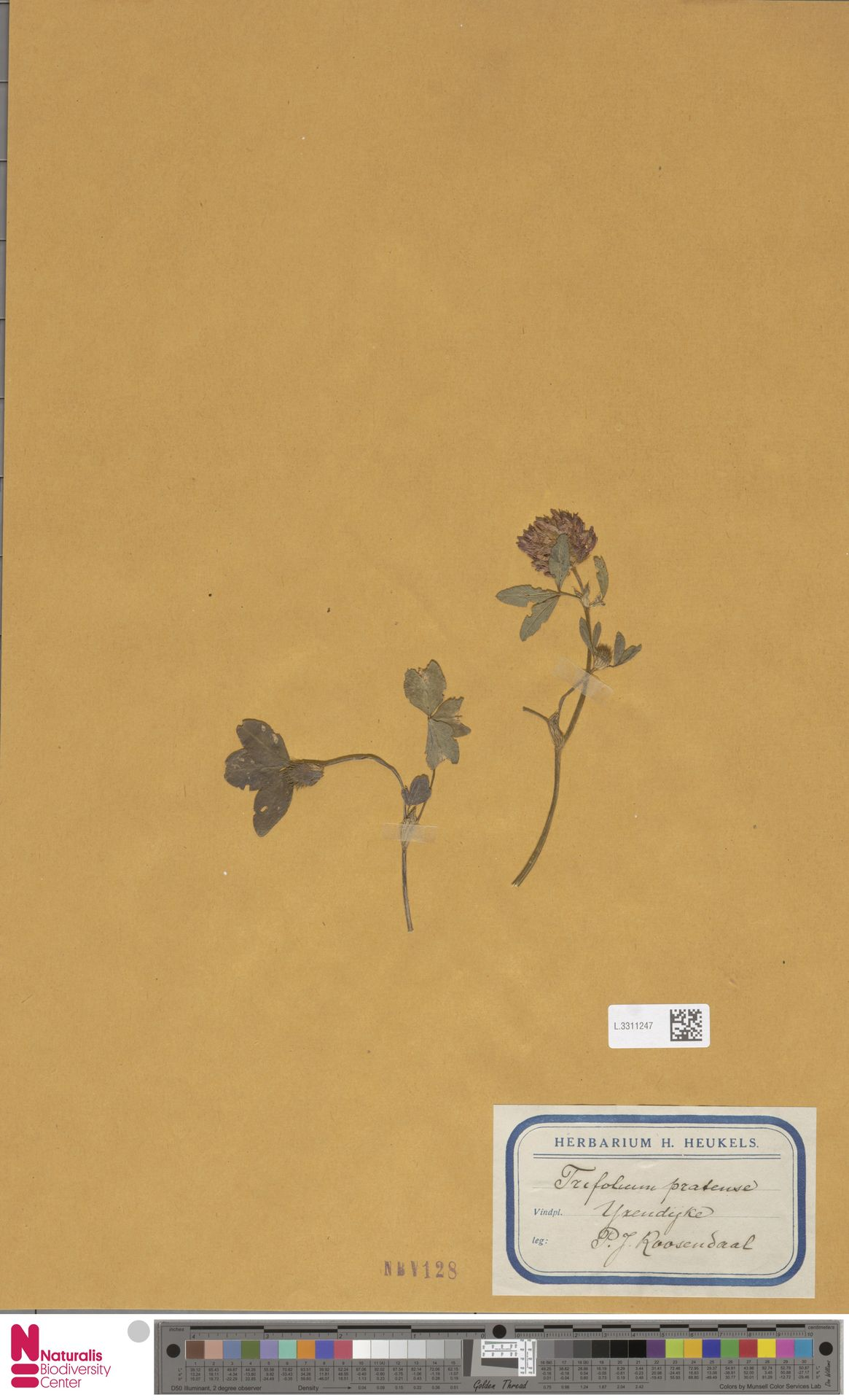 L.3311247 | Trifolium pratense L.