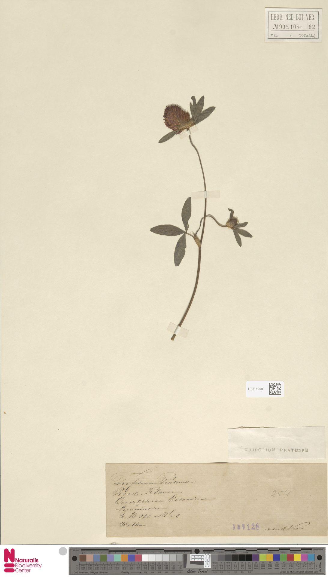 L.3311250 | Trifolium pratense L.