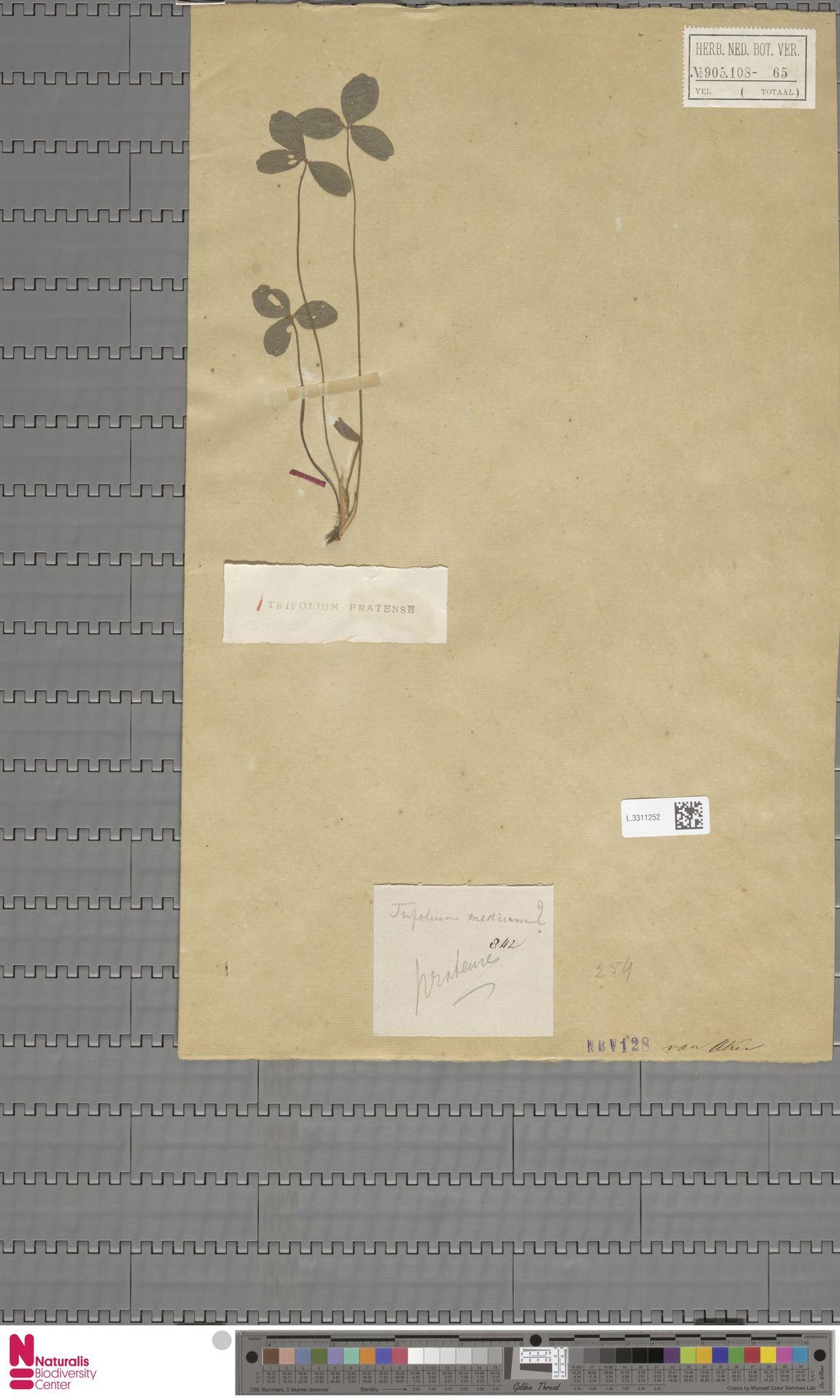 L.3311252 | Trifolium pratense L.