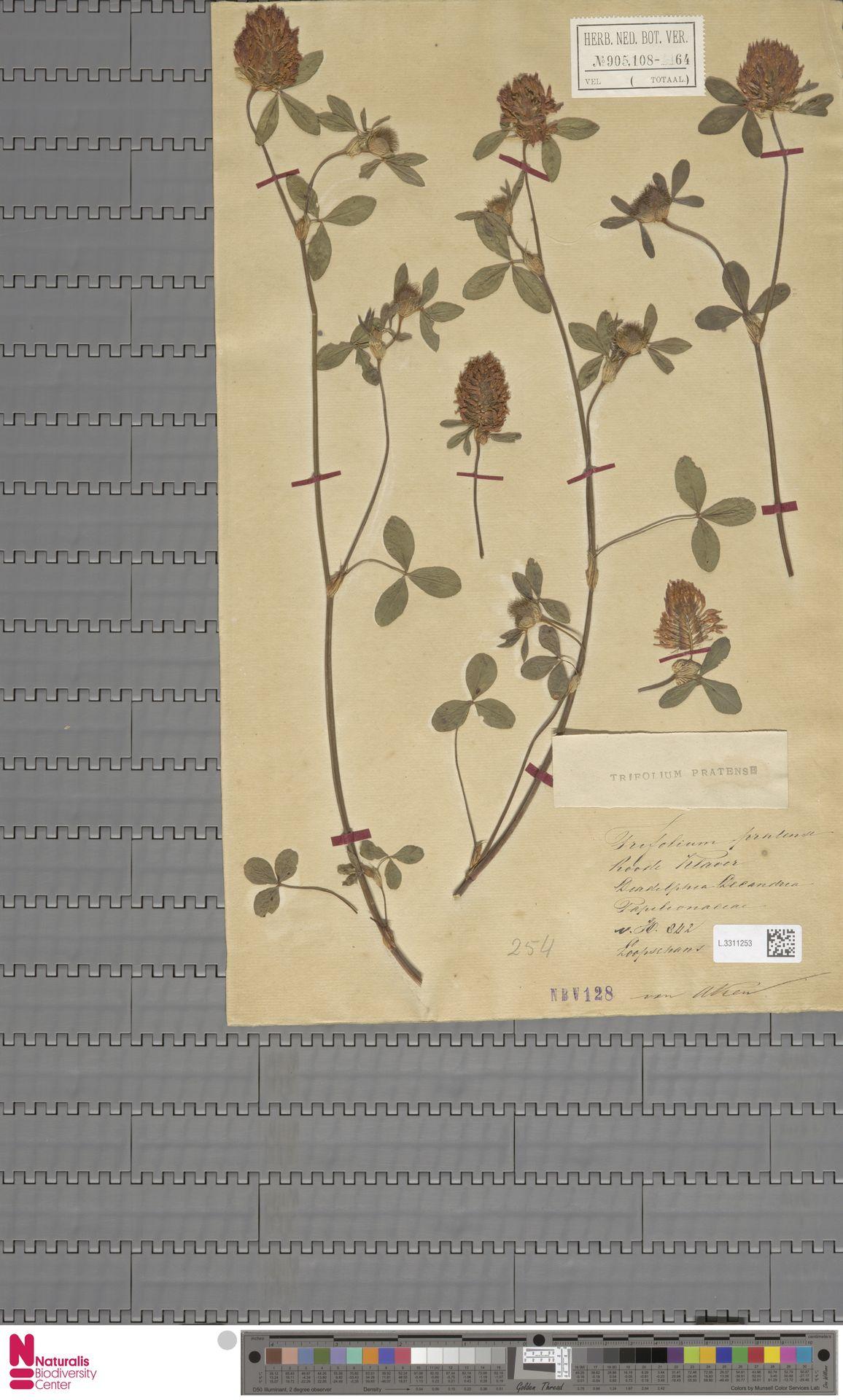 L.3311253   Trifolium pratense L.