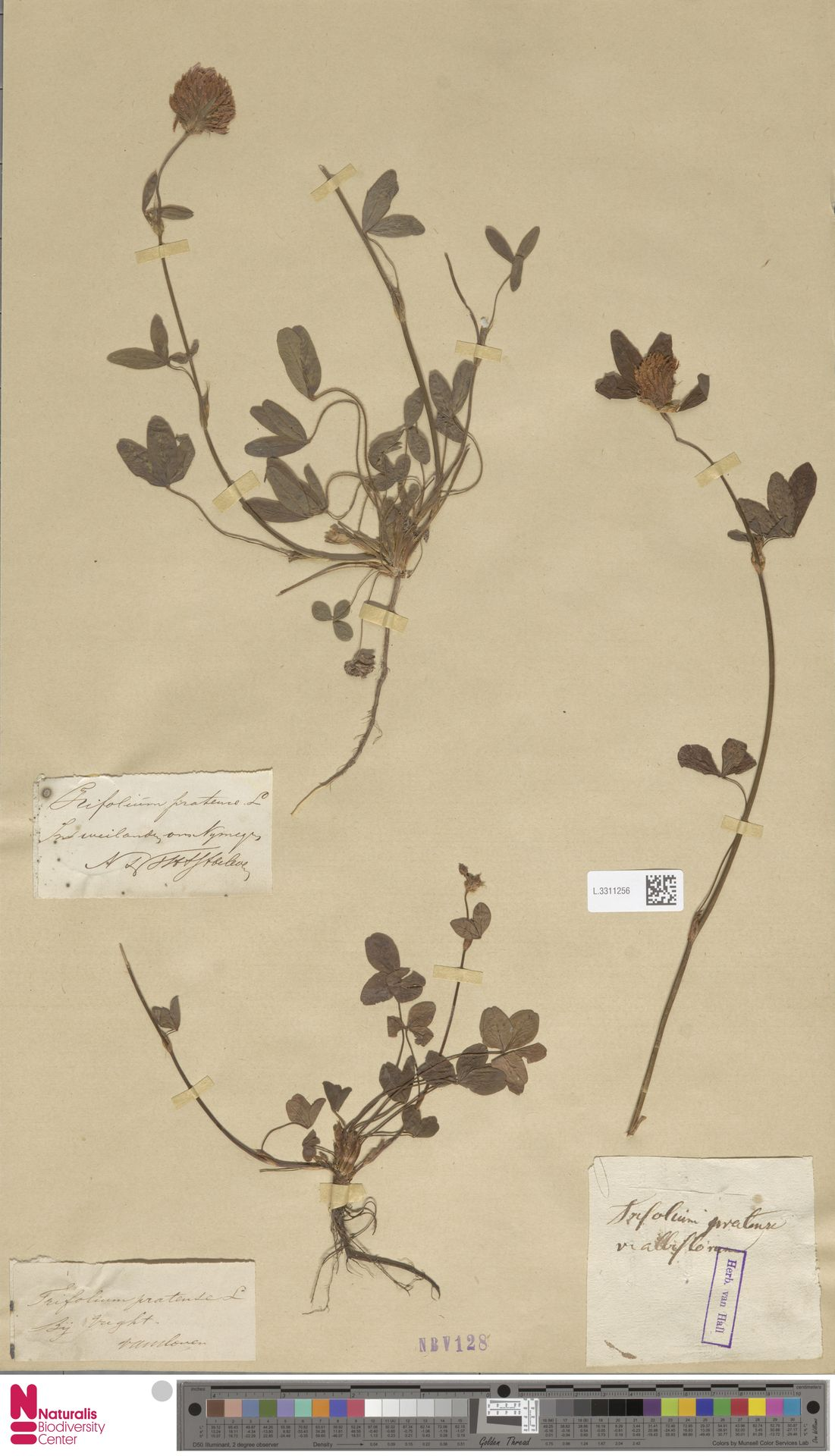 L.3311256   Trifolium pratense L.