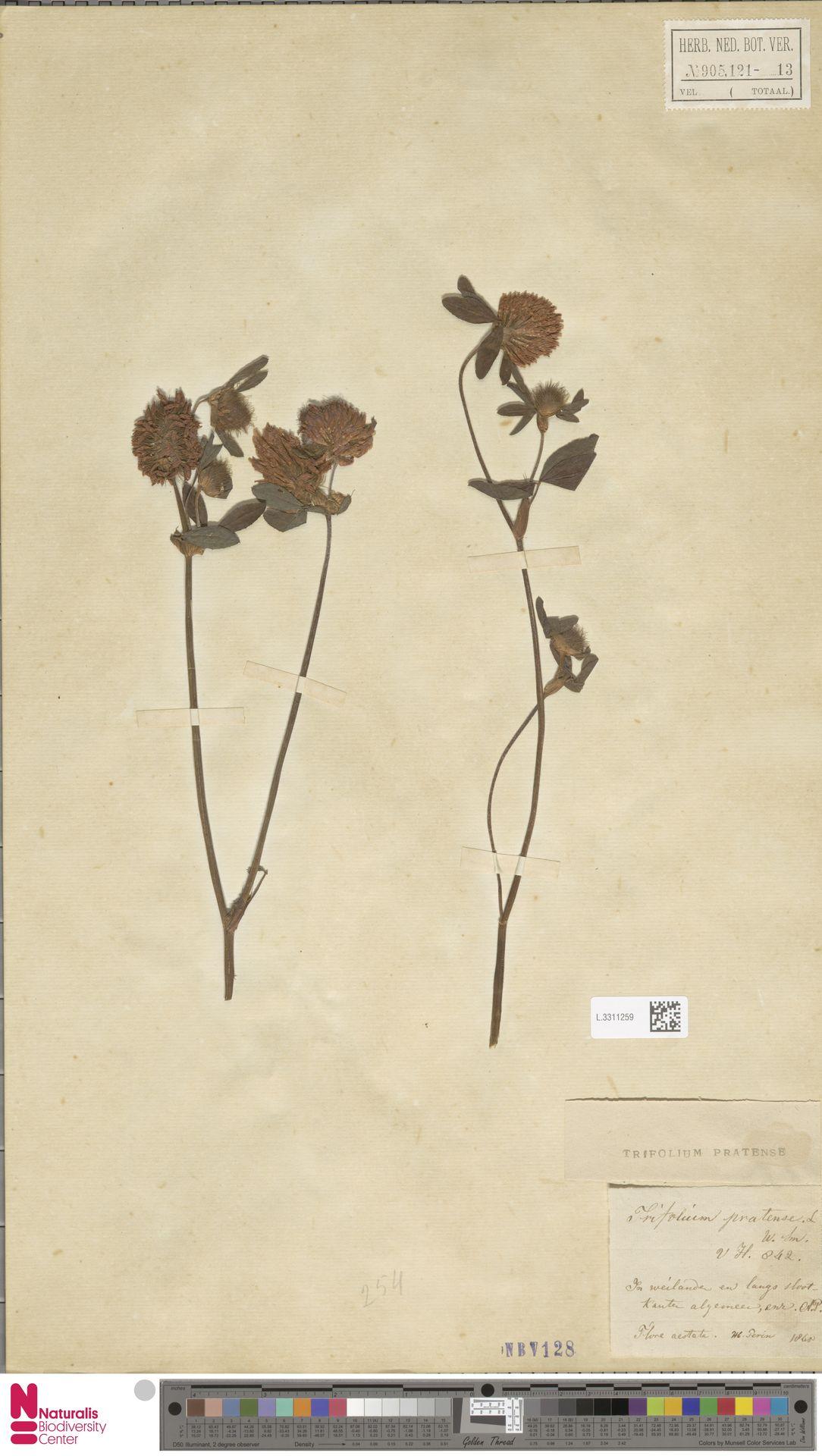 L.3311259 | Trifolium pratense L.