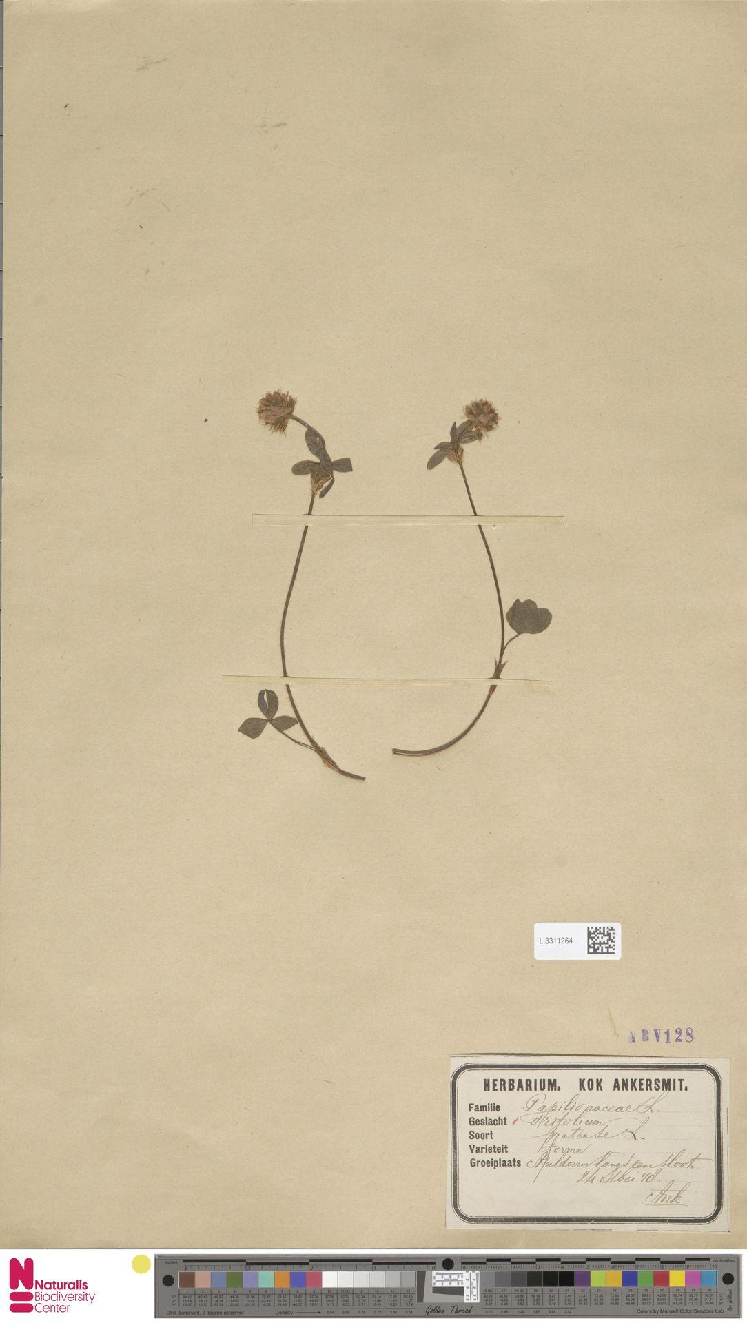 L.3311264 | Trifolium pratense L.